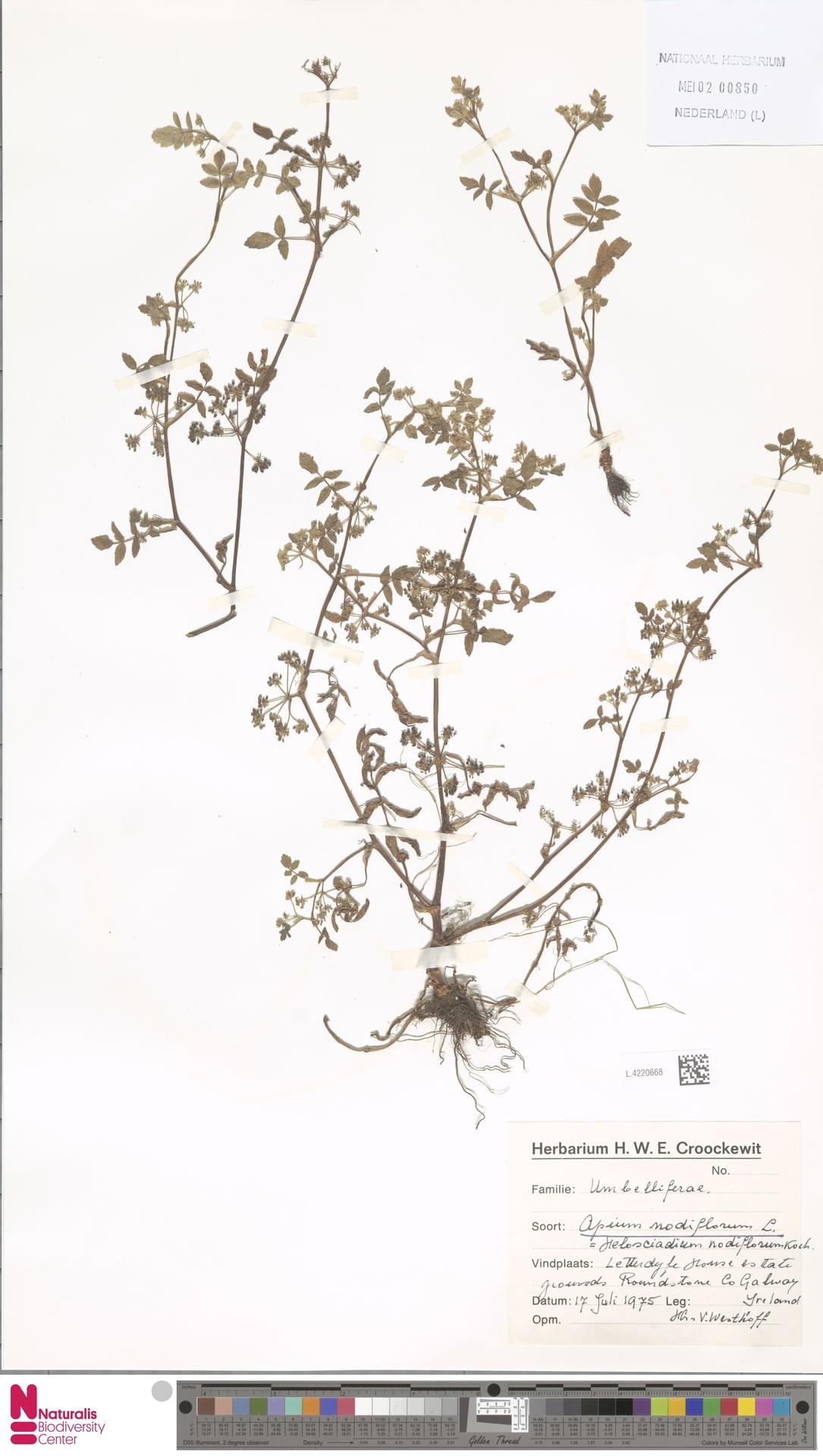 L.4220668 | Apium nodiflorum (L.) Lag.