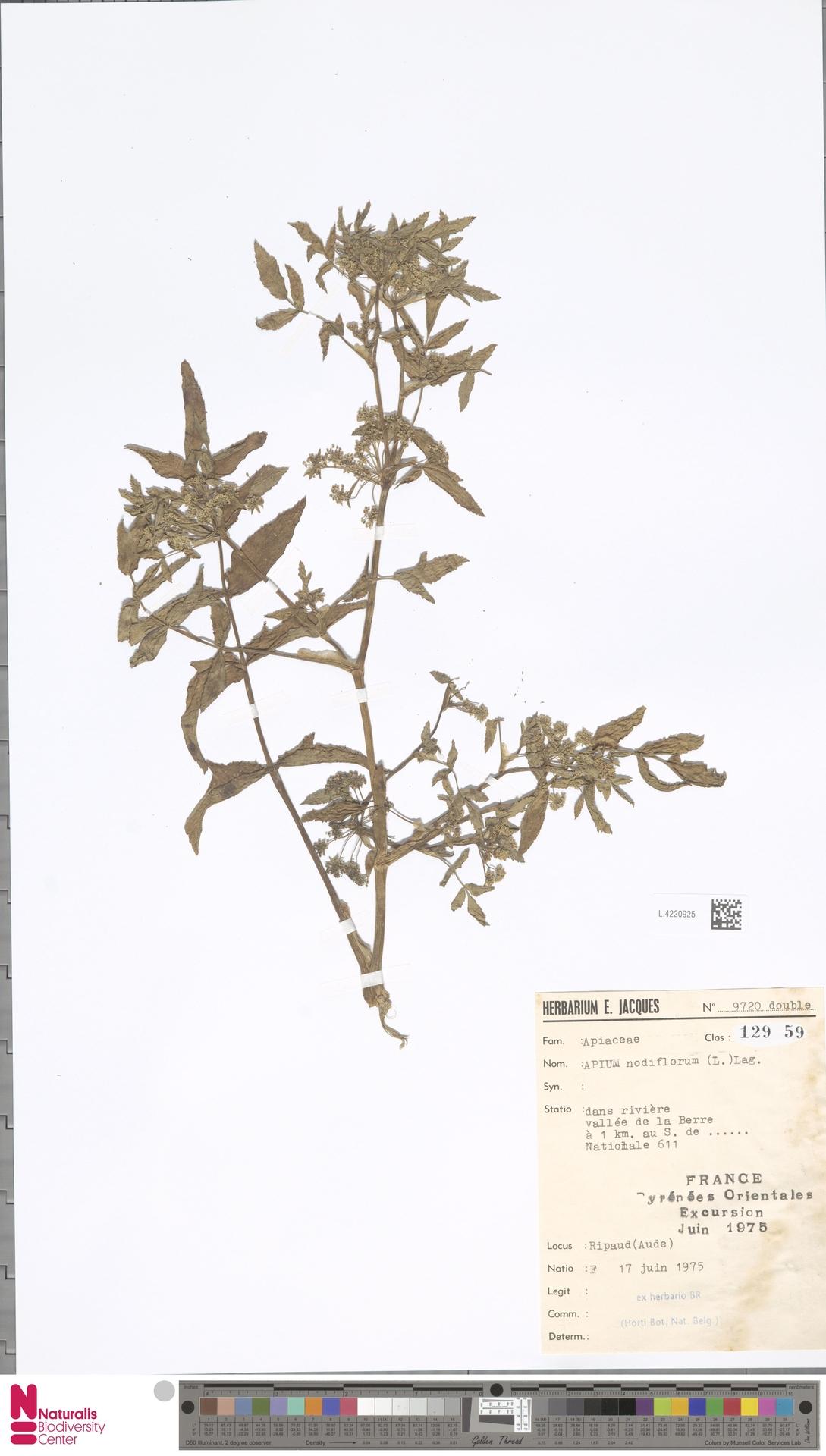 L.4220925 | Apium nodiflorum (L.) Lag.