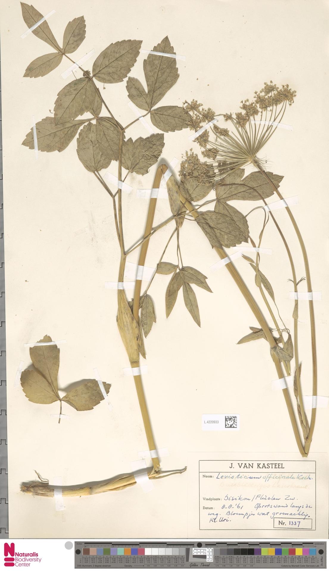 L.4220933 | Levisticum officinale W.D.J.Koch