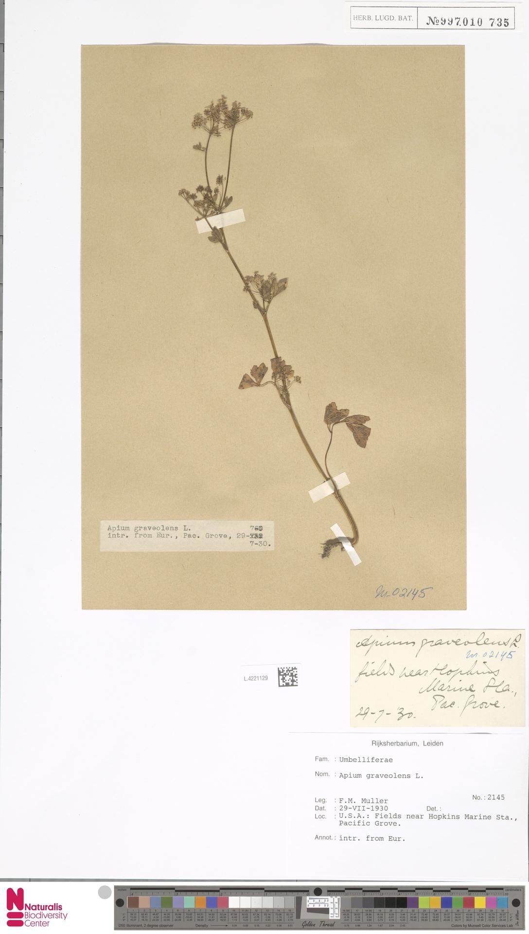 L.4221129 | Apium graveolens L.