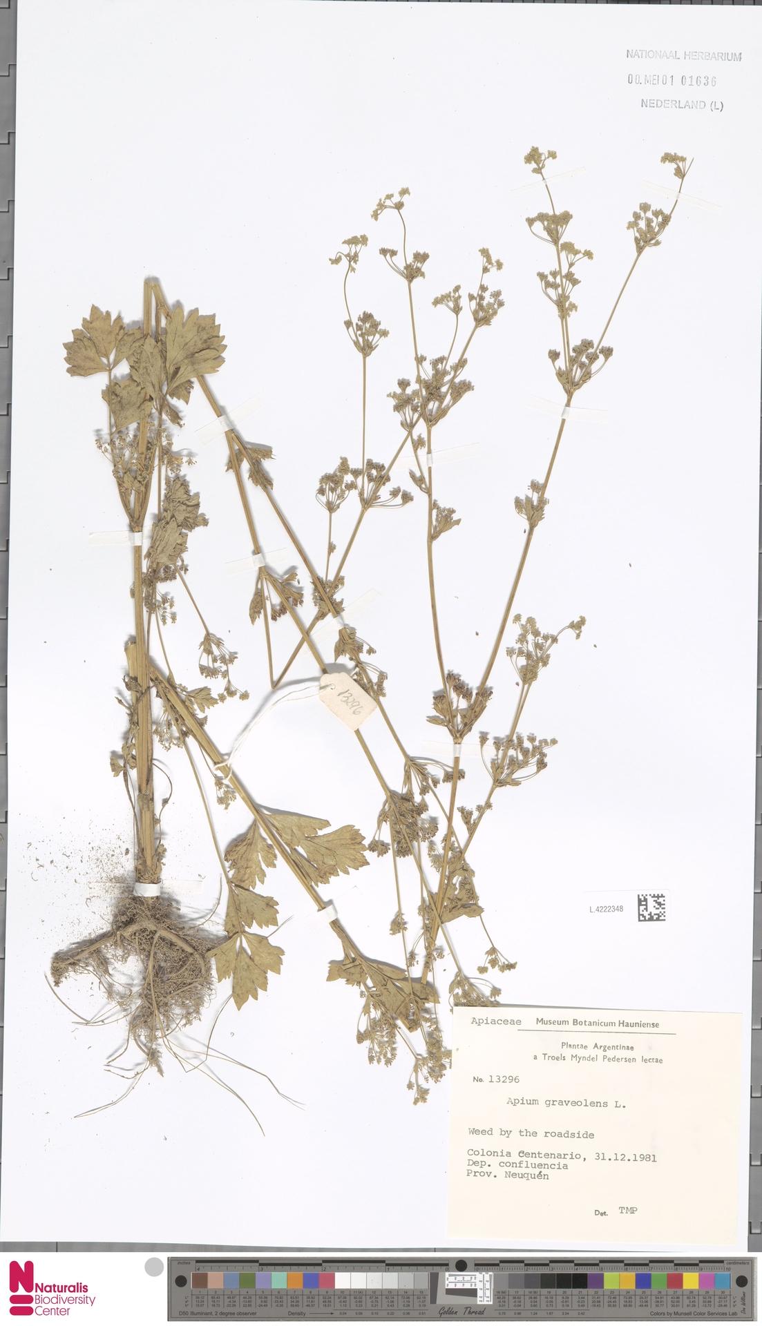 L.4222348 | Apium graveolens L.