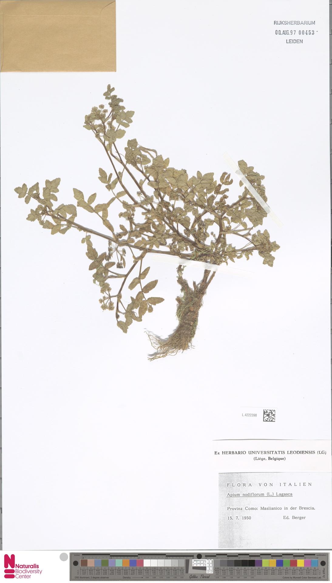 L.4222398 | Apium nodiflorum (L.) Lag.