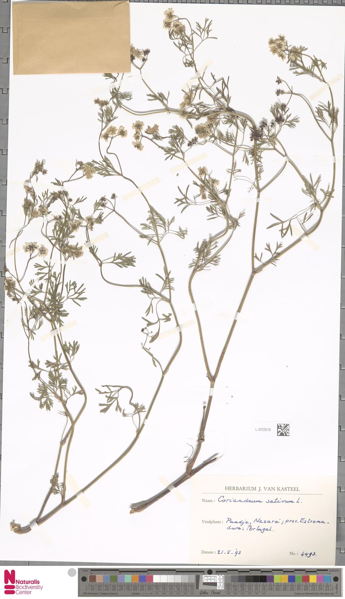 L.4222518 | Coriandrum sativum L.