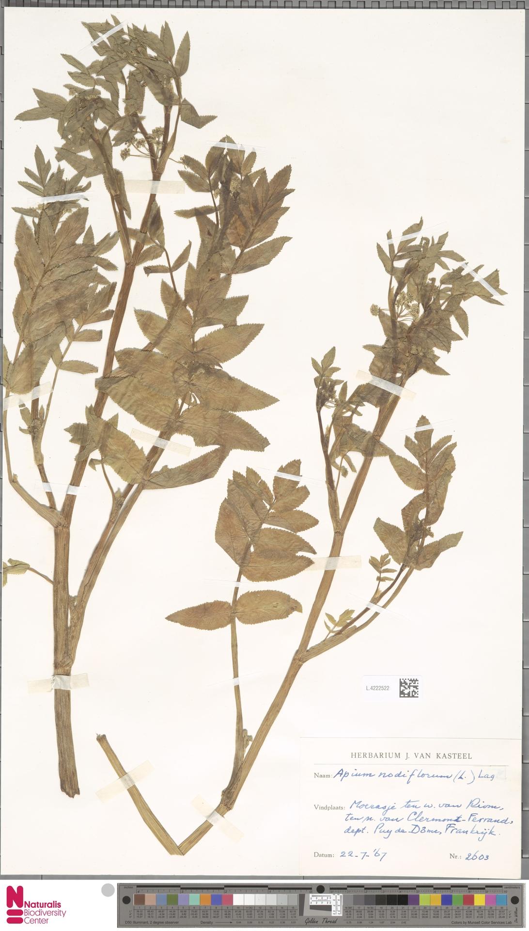 L.4222522 | Apium nodiflorum (L.) Lag.