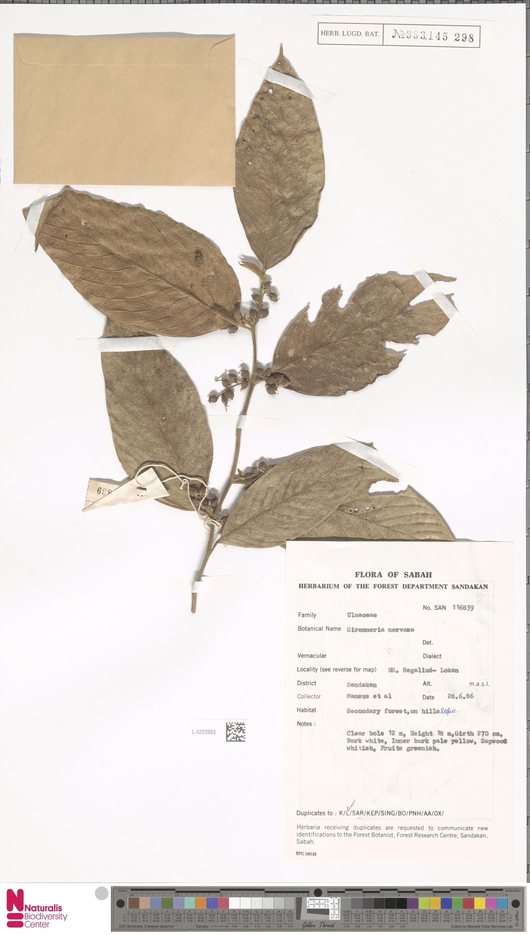 L.4222683 | Gironniera nervosa Planch.