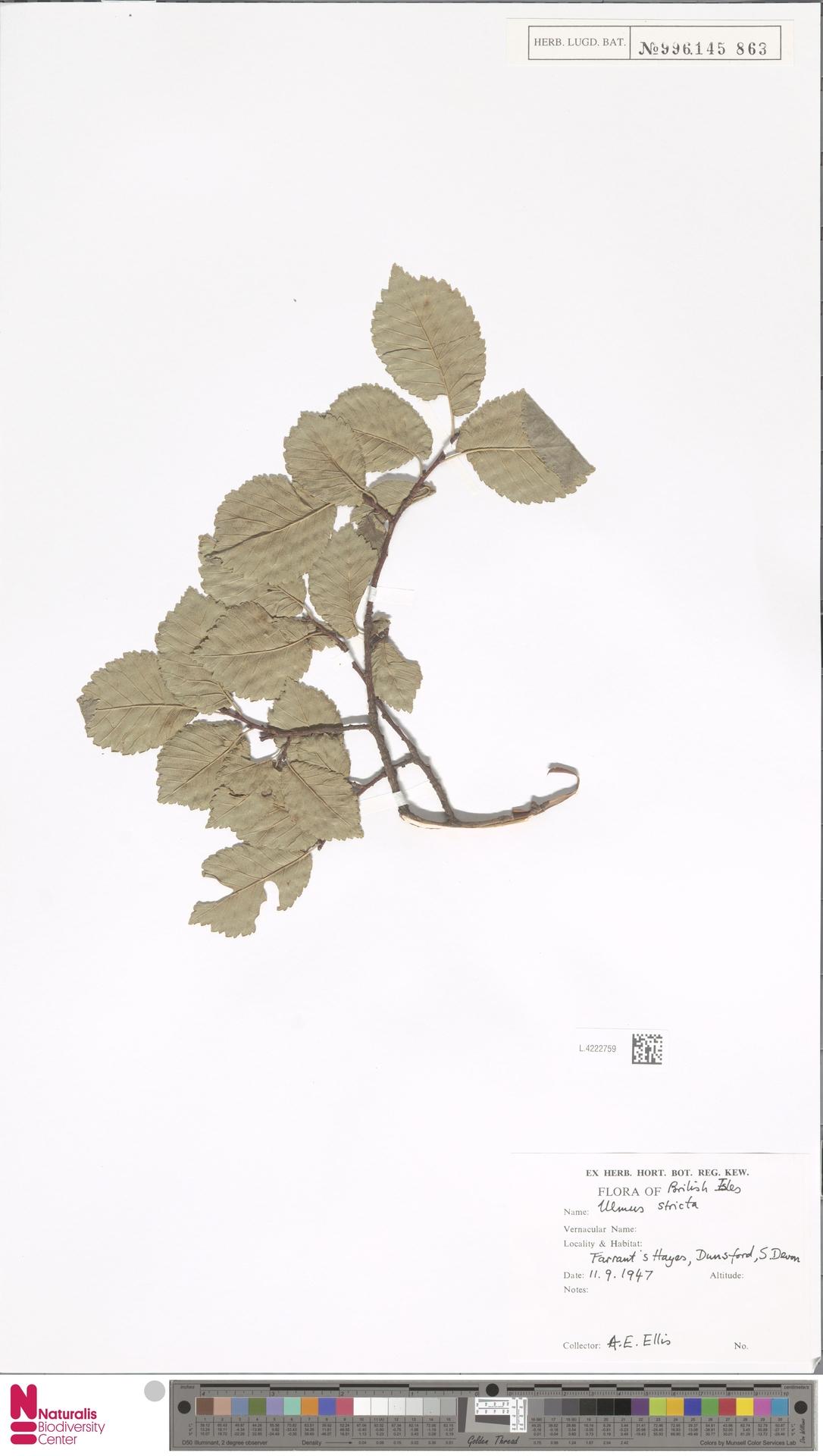 L.4222759 | Ulmus stricta Lindl.
