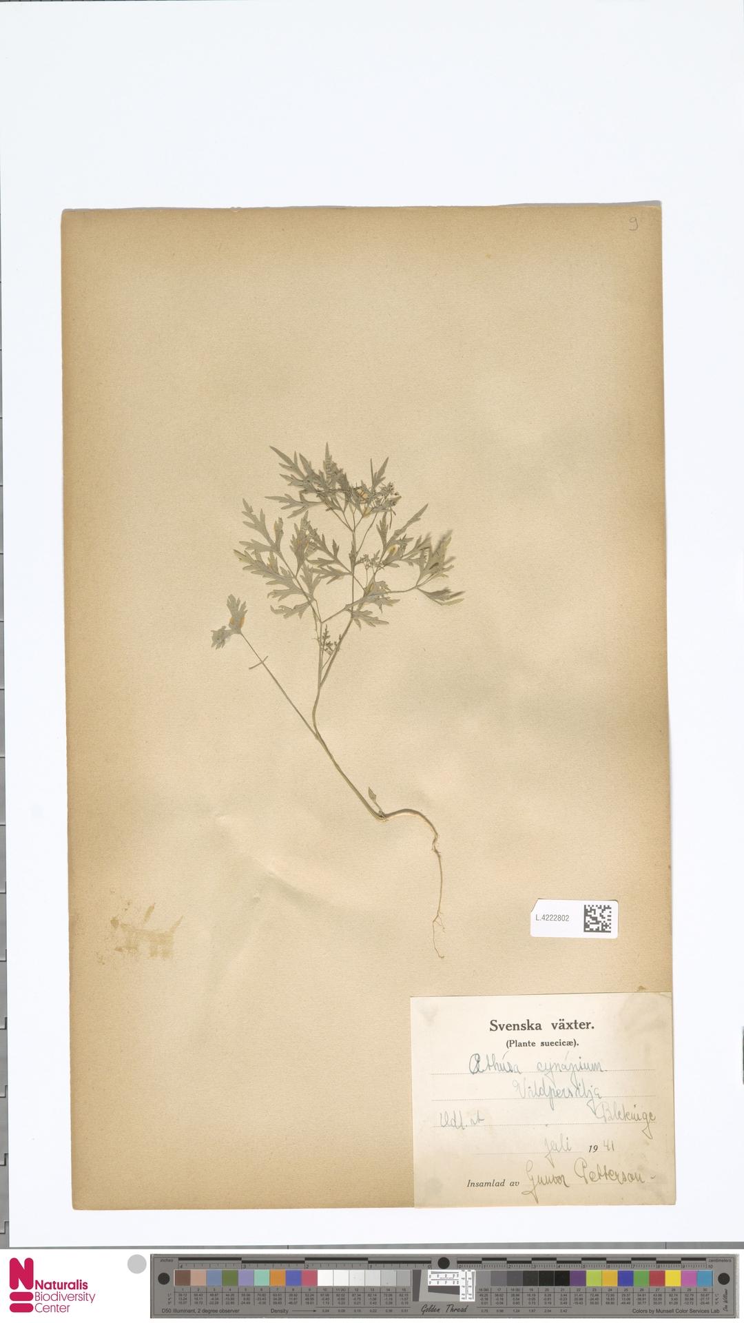 L.4222802 | Aethusa cynapium L.