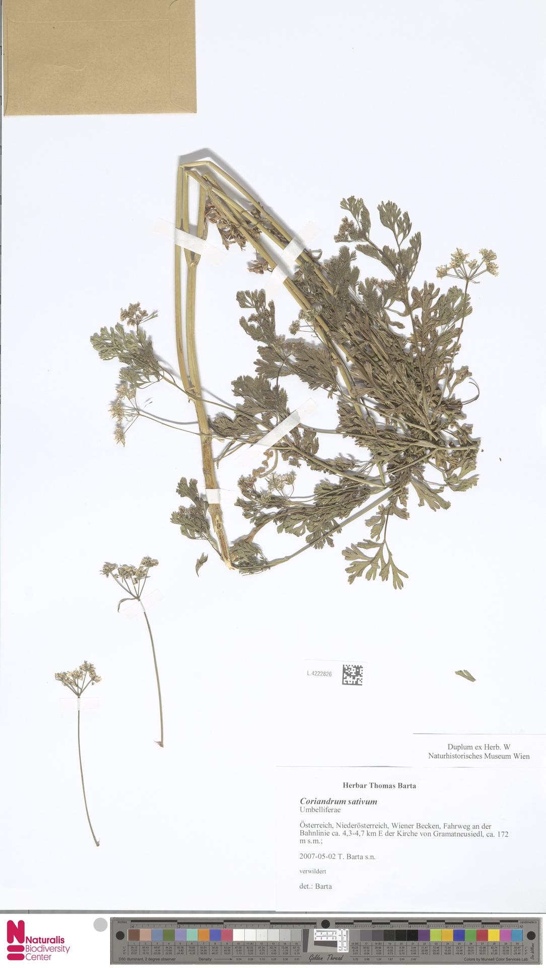 L.4222826 | Coriandrum sativum L.