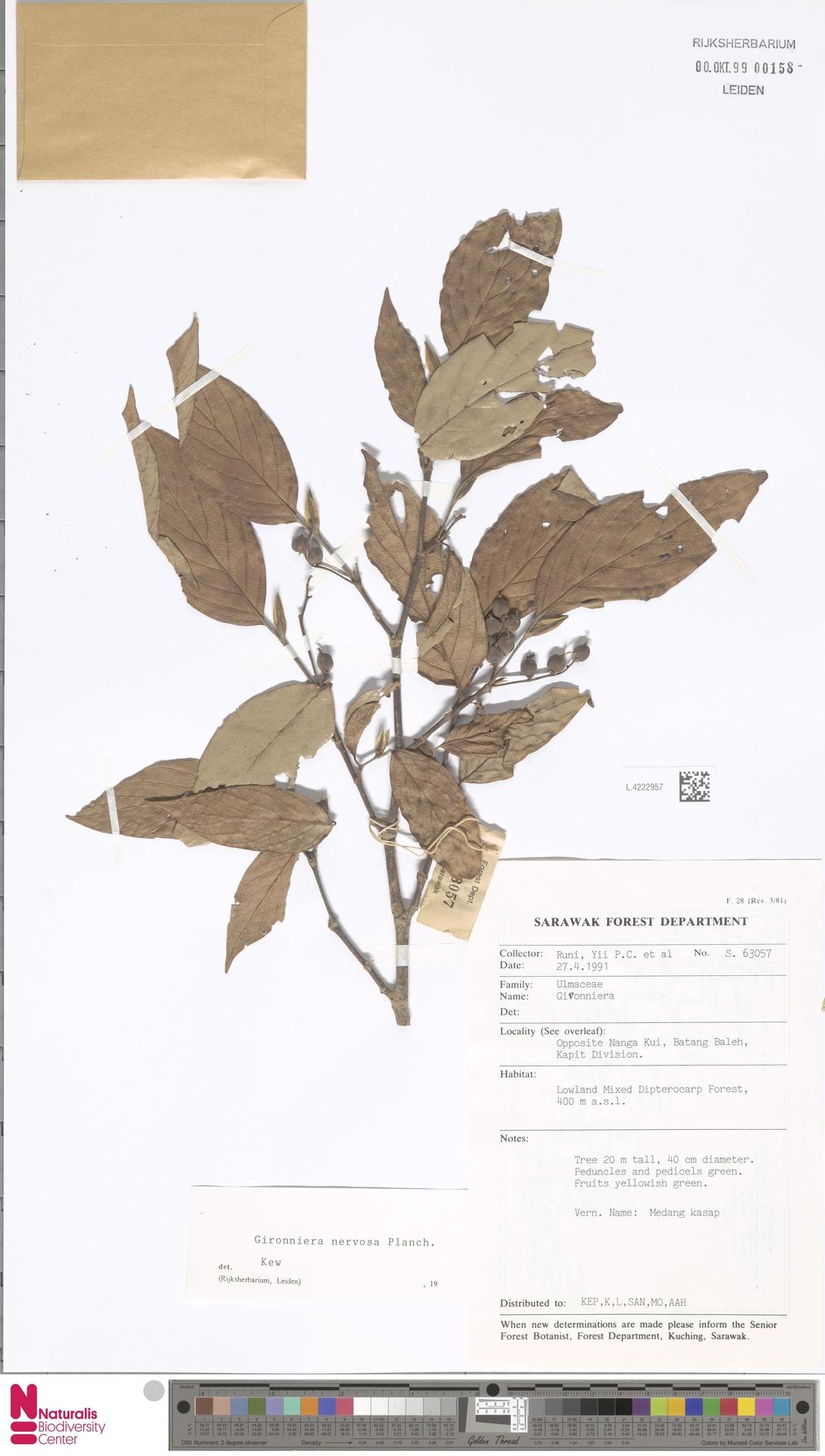 L.4222957 | Gironniera nervosa Planch.