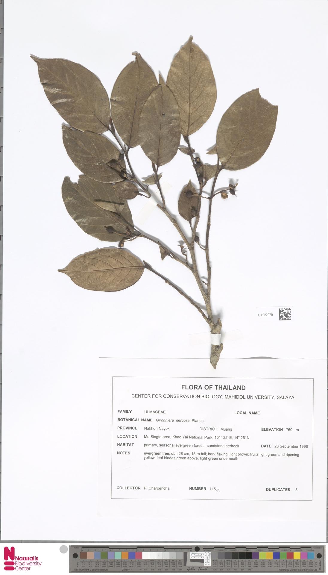 L.4222979 | Gironniera nervosa Planch.