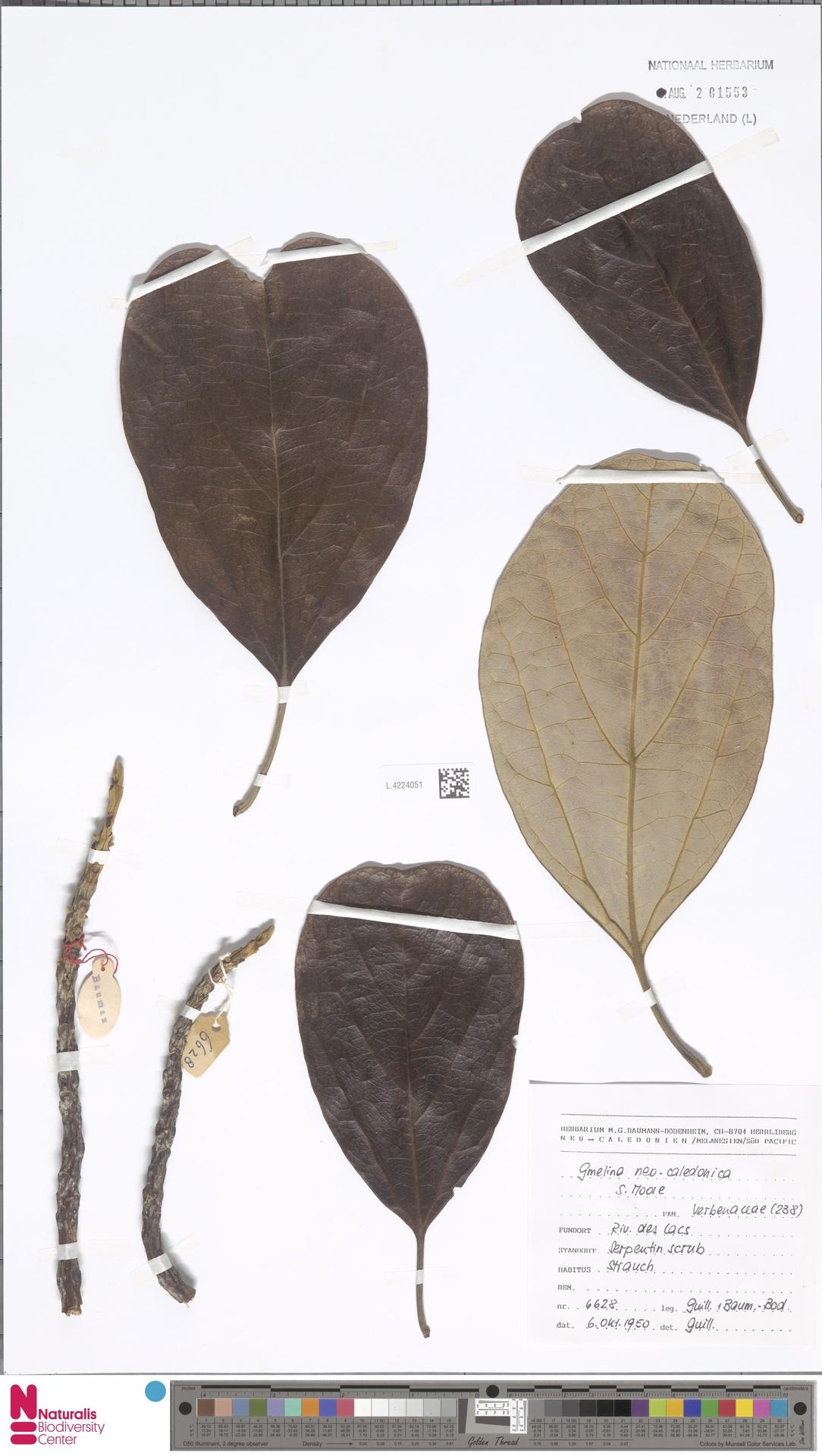 L.4224051 | Gmelina neocaledonica S.Moore