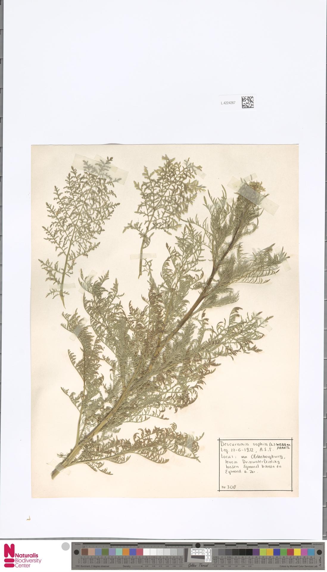 L.4224267 | Descurainia sophia (L.) Webb ex Prantl