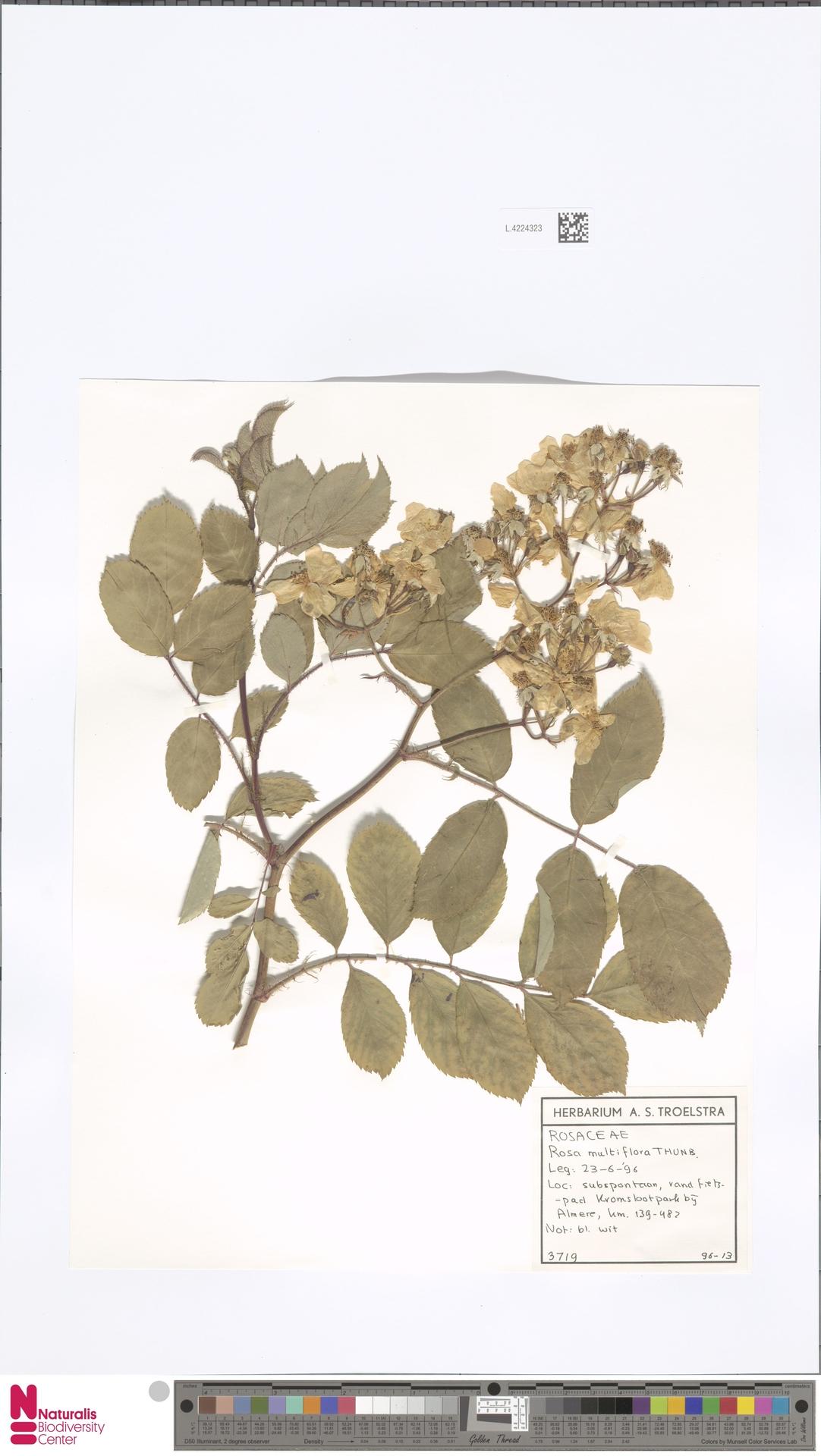 L.4224323 | Rosa multiflora Thunb.