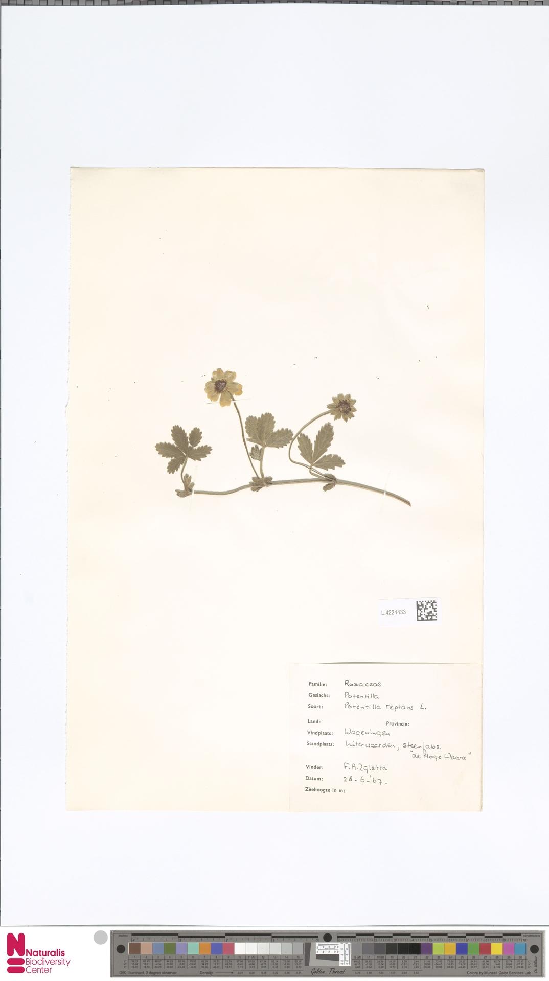 L.4224433 | Potentilla reptans L.