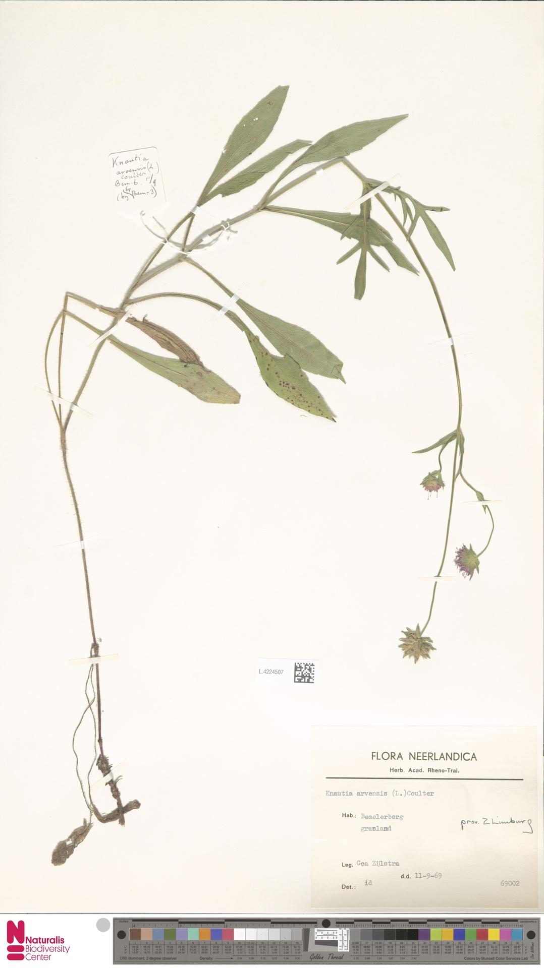 L.4224507 | Knautia arvensis (L.) Coult.