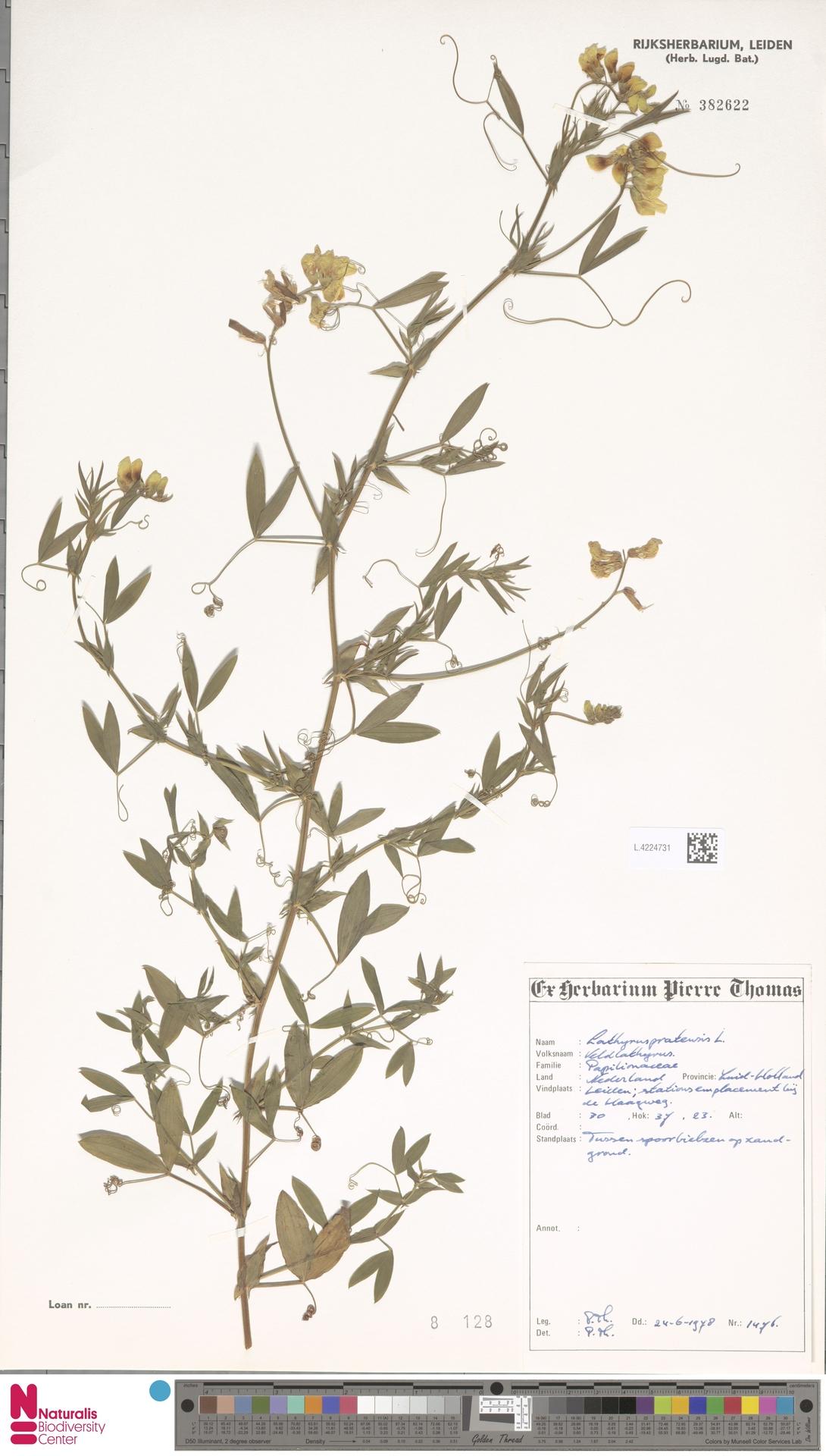 L.4224731   Lathyrus pratensis L.