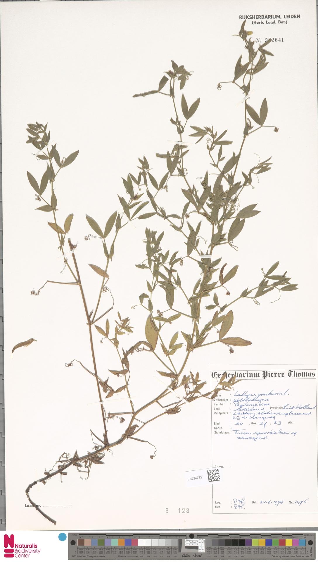L.4224733 | Lathyrus pratensis L.