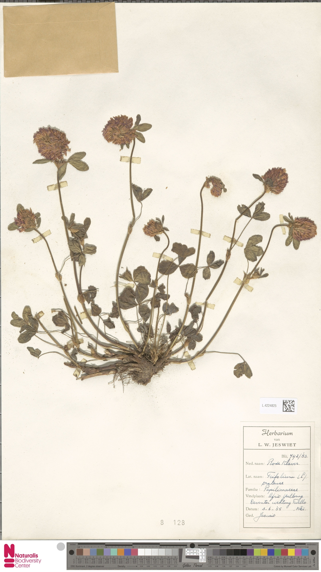 L.4224825 | Trifolium pratense L.
