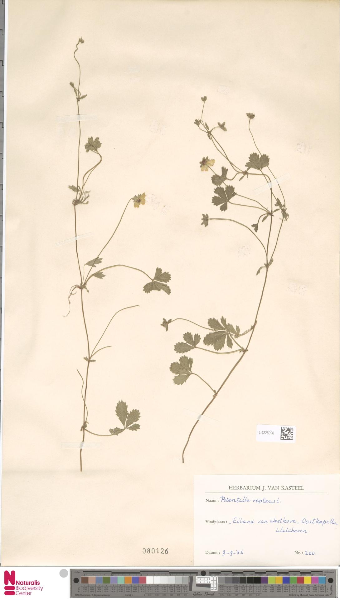 L.4225096   Potentilla reptans L.