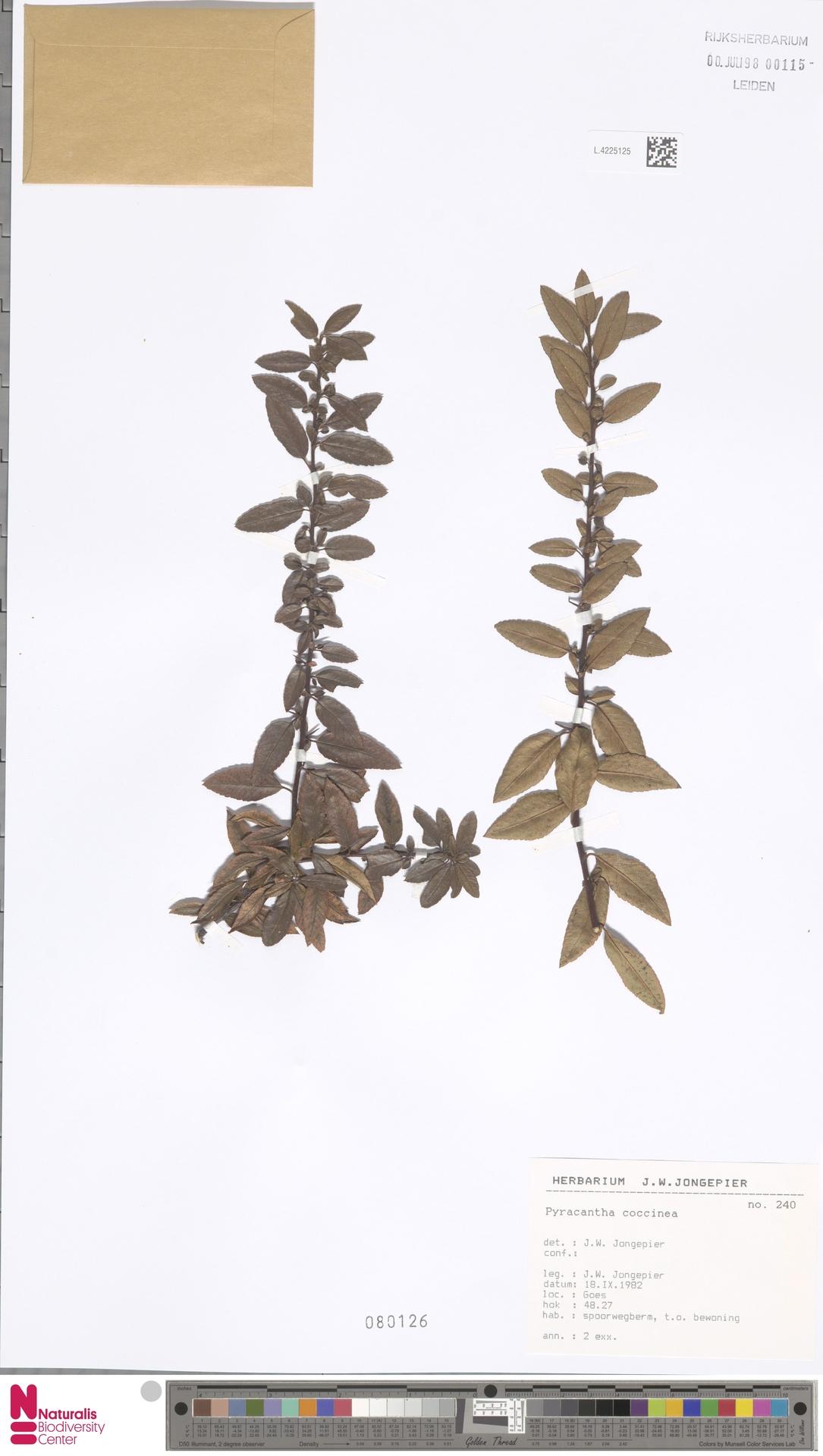 L.4225125 | Pyracantha coccinea M.Roem.