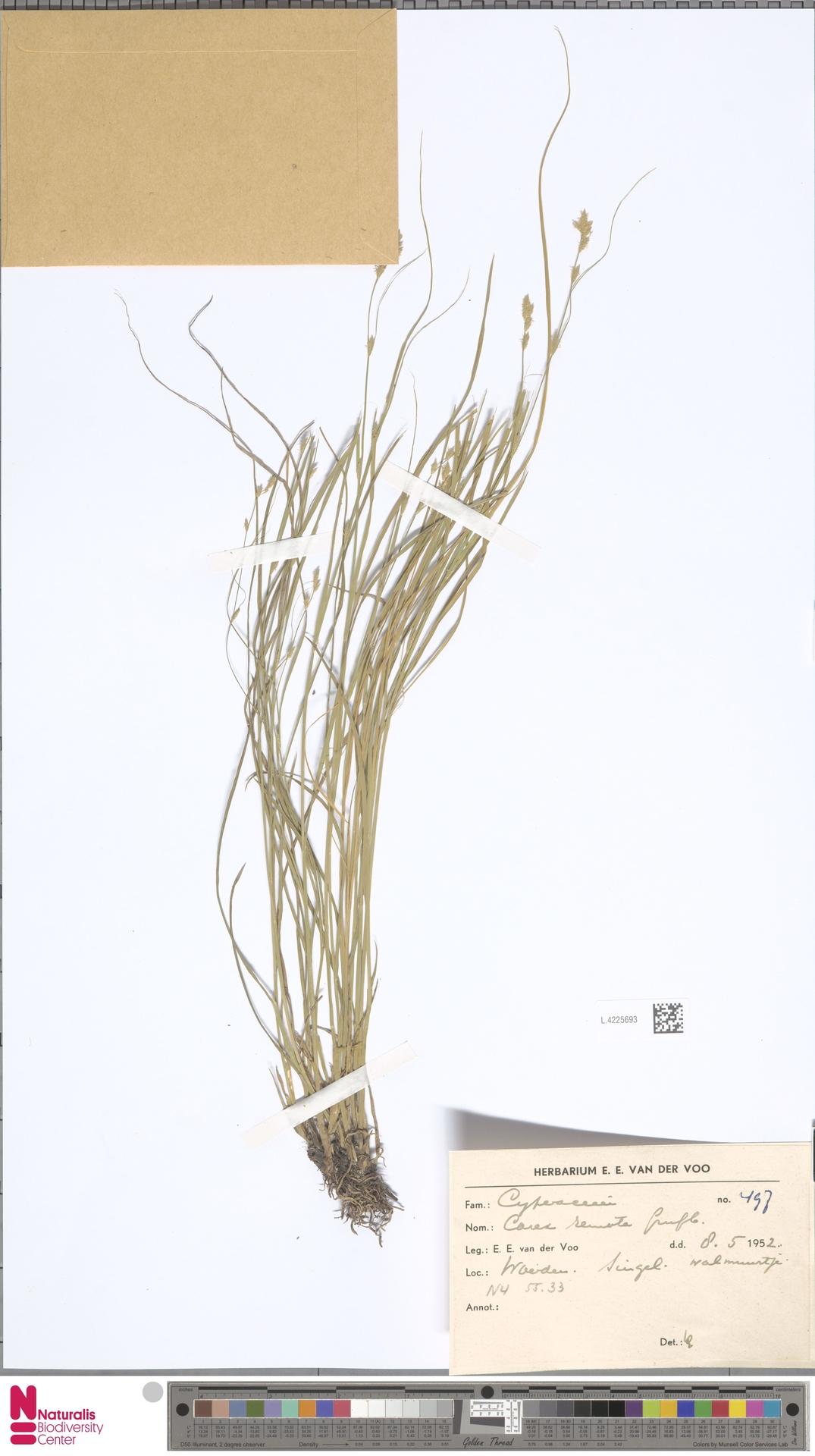 L.4225693 | Carex remota L.