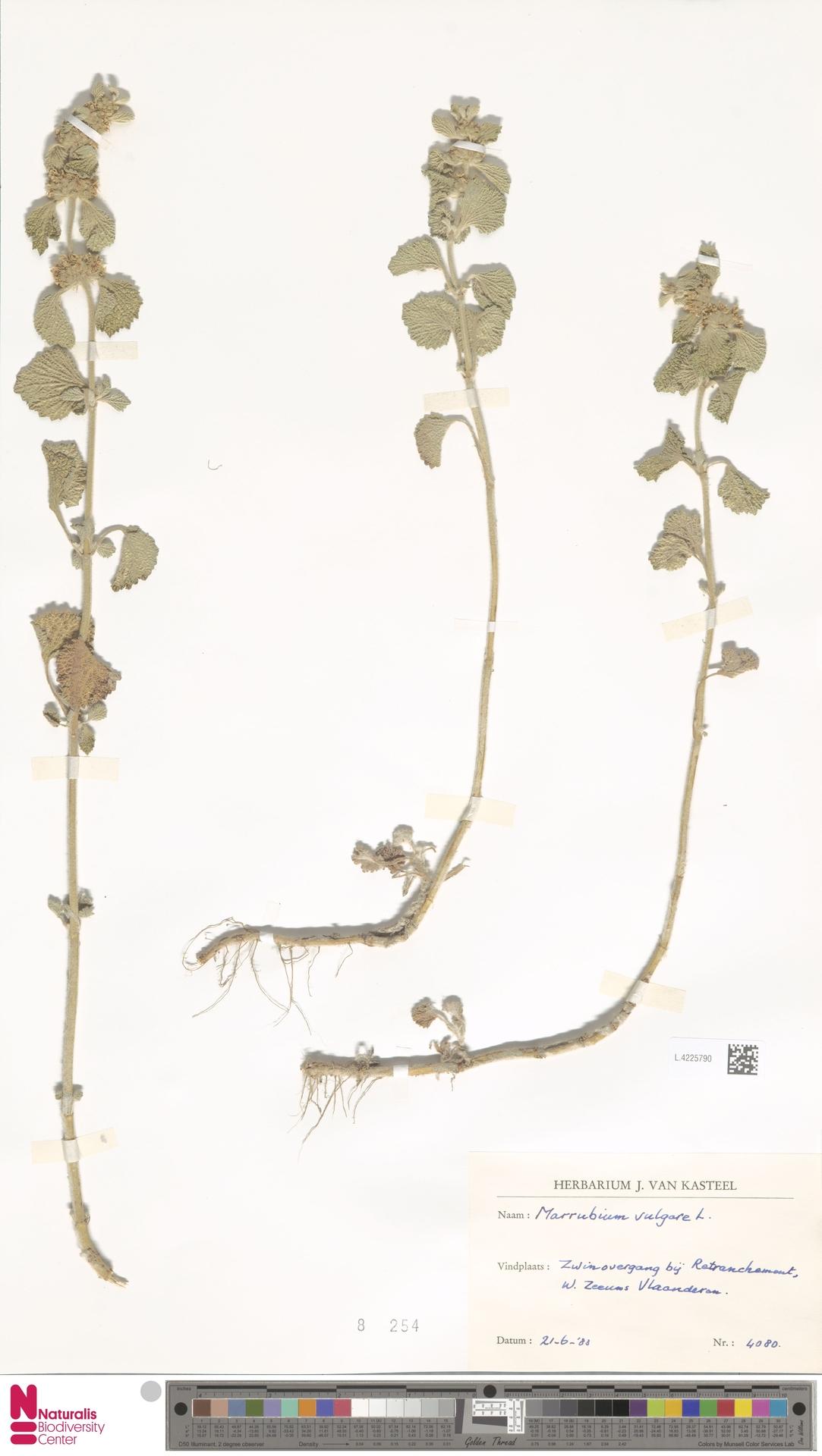 L.4225790 | Marrubium vulgare L.