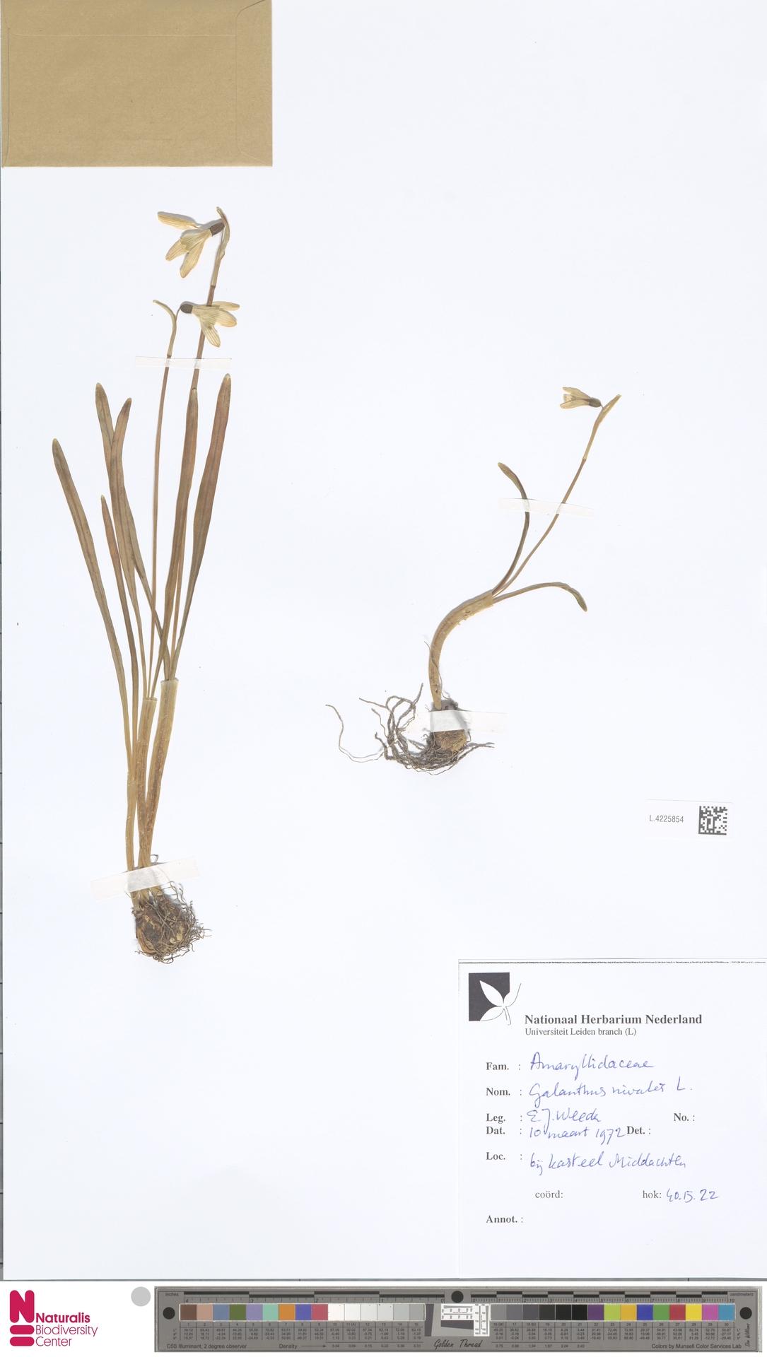 L.4225854 | Galanthus nivalis L.