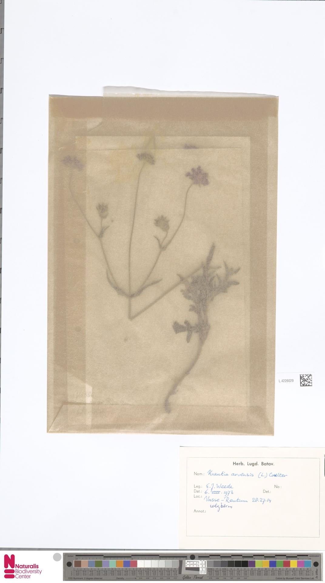 L.4226029   Knautia arvensis (L.) Coult.