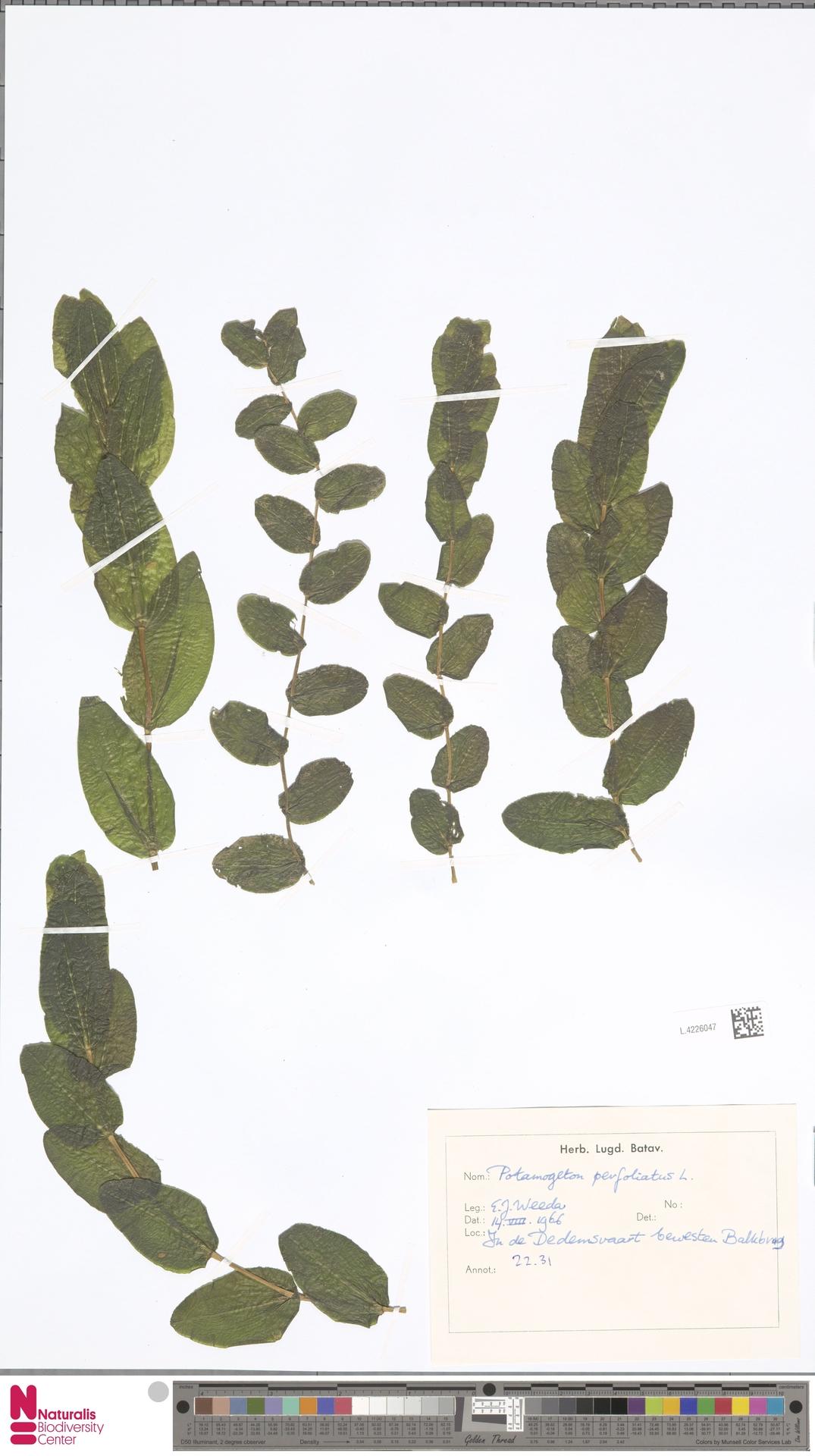 L.4226047 | Potamogeton perfoliatus L.