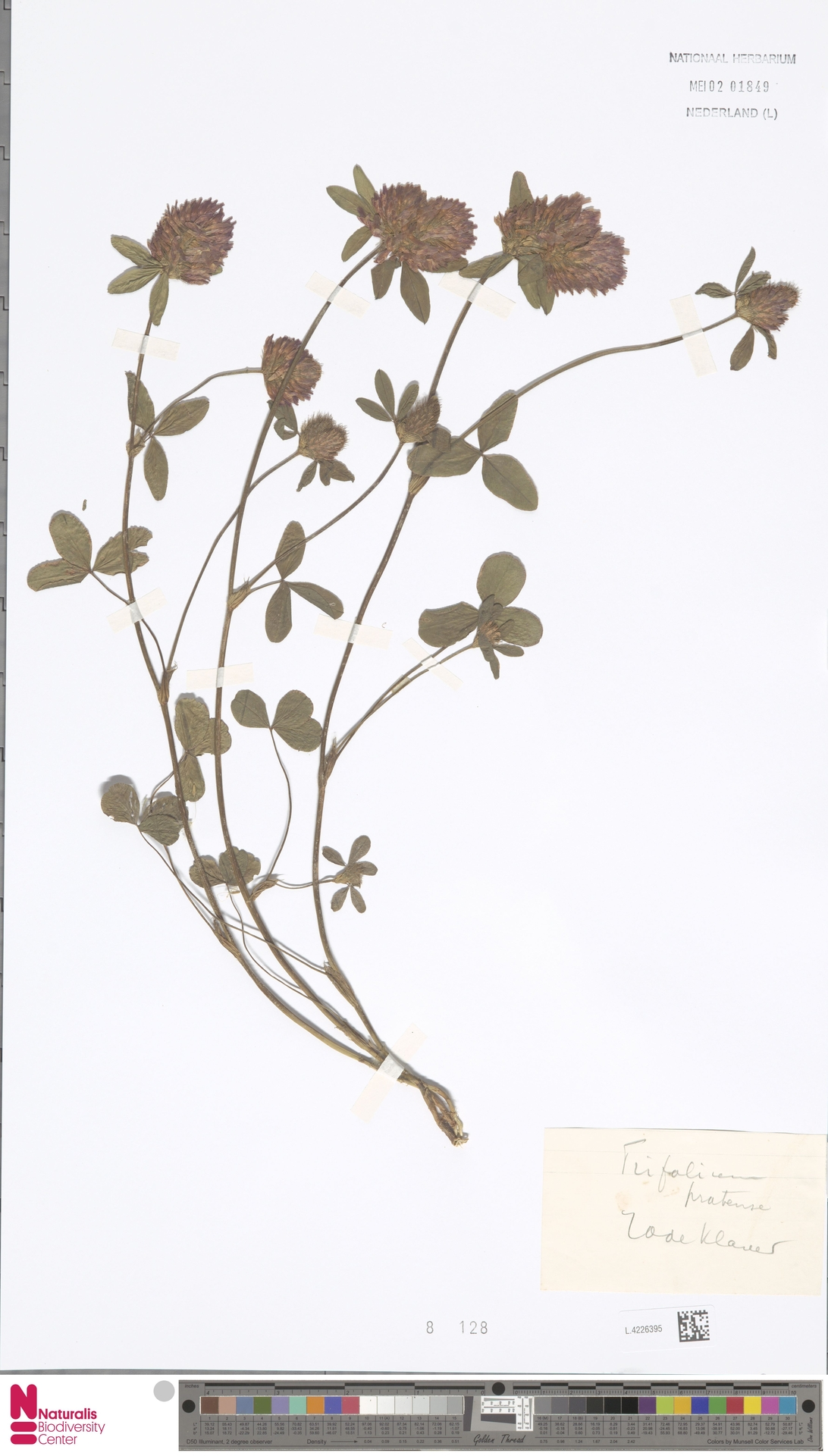 L.4226395 | Trifolium pratense L.
