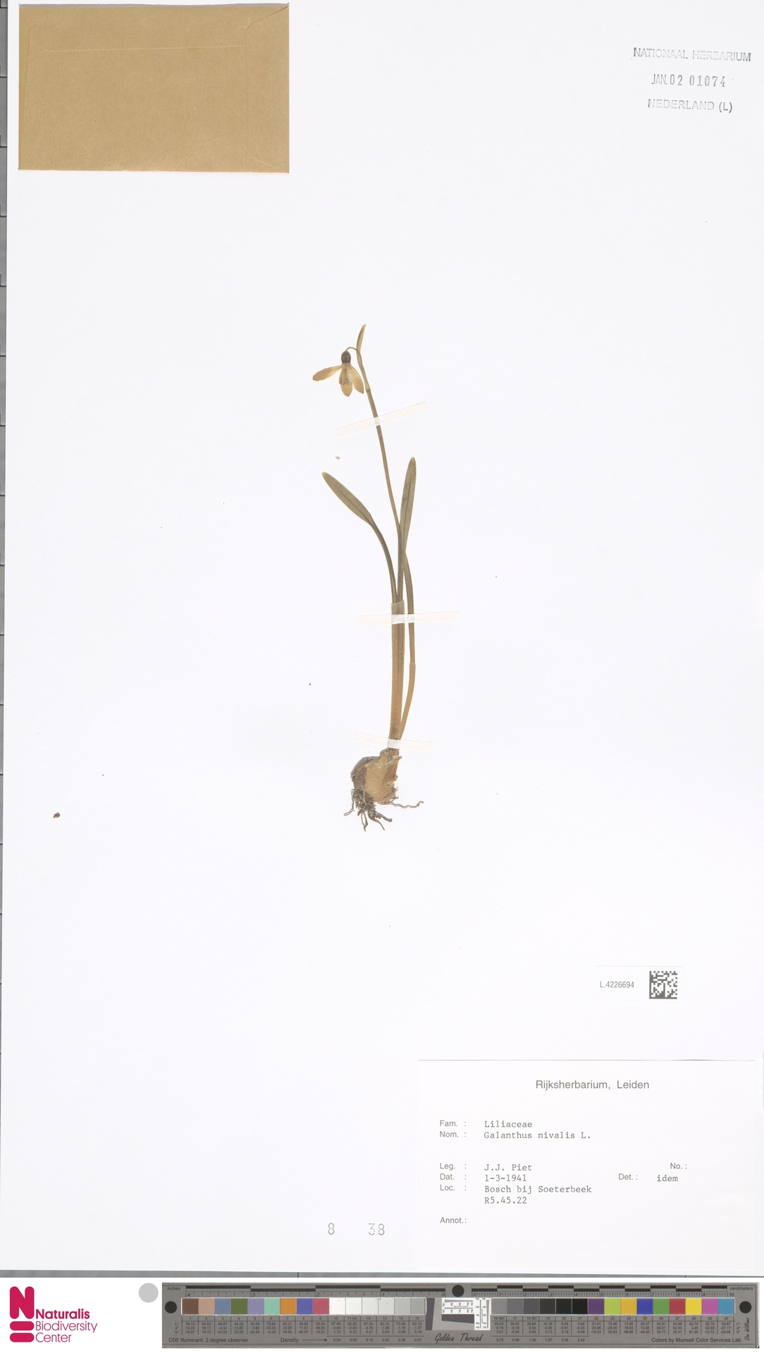 L.4226694 | Galanthus nivalis L.