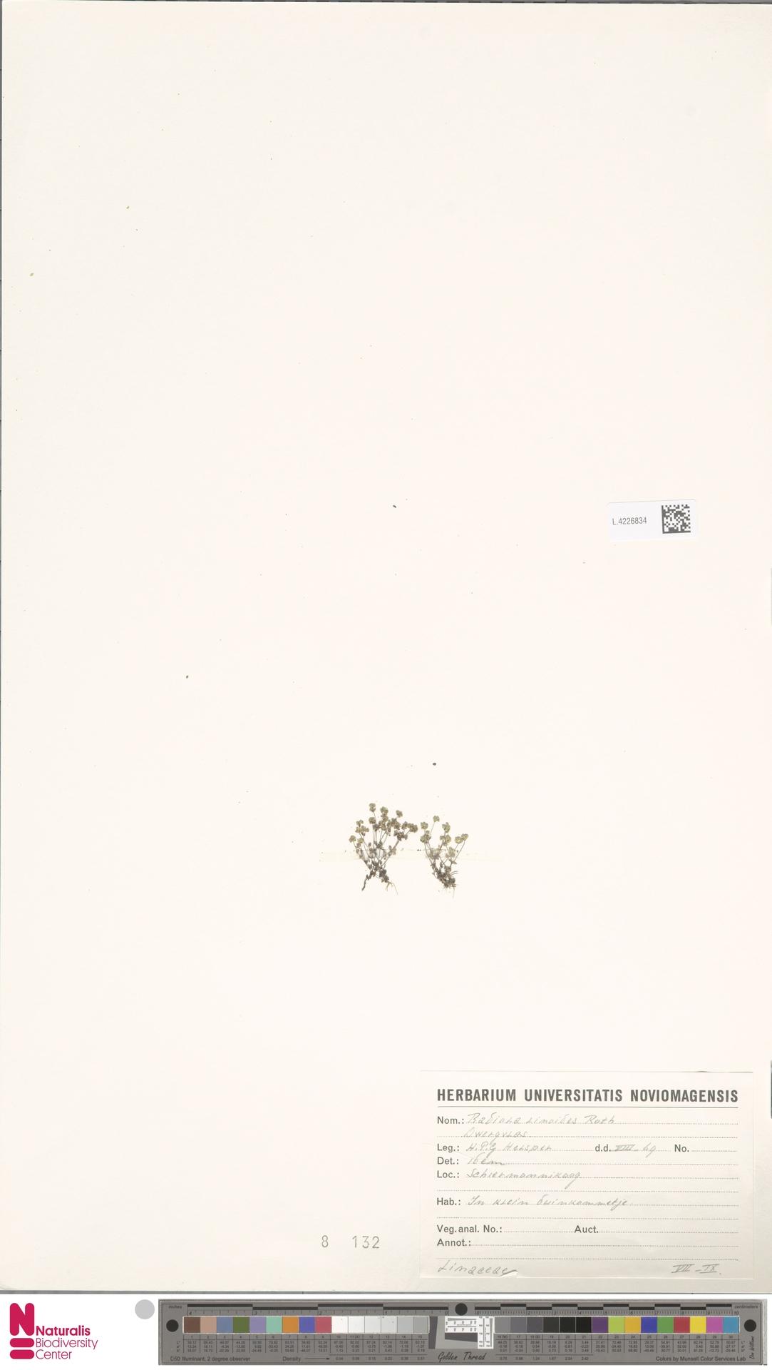 L.4226834   Radiola linoides Roth