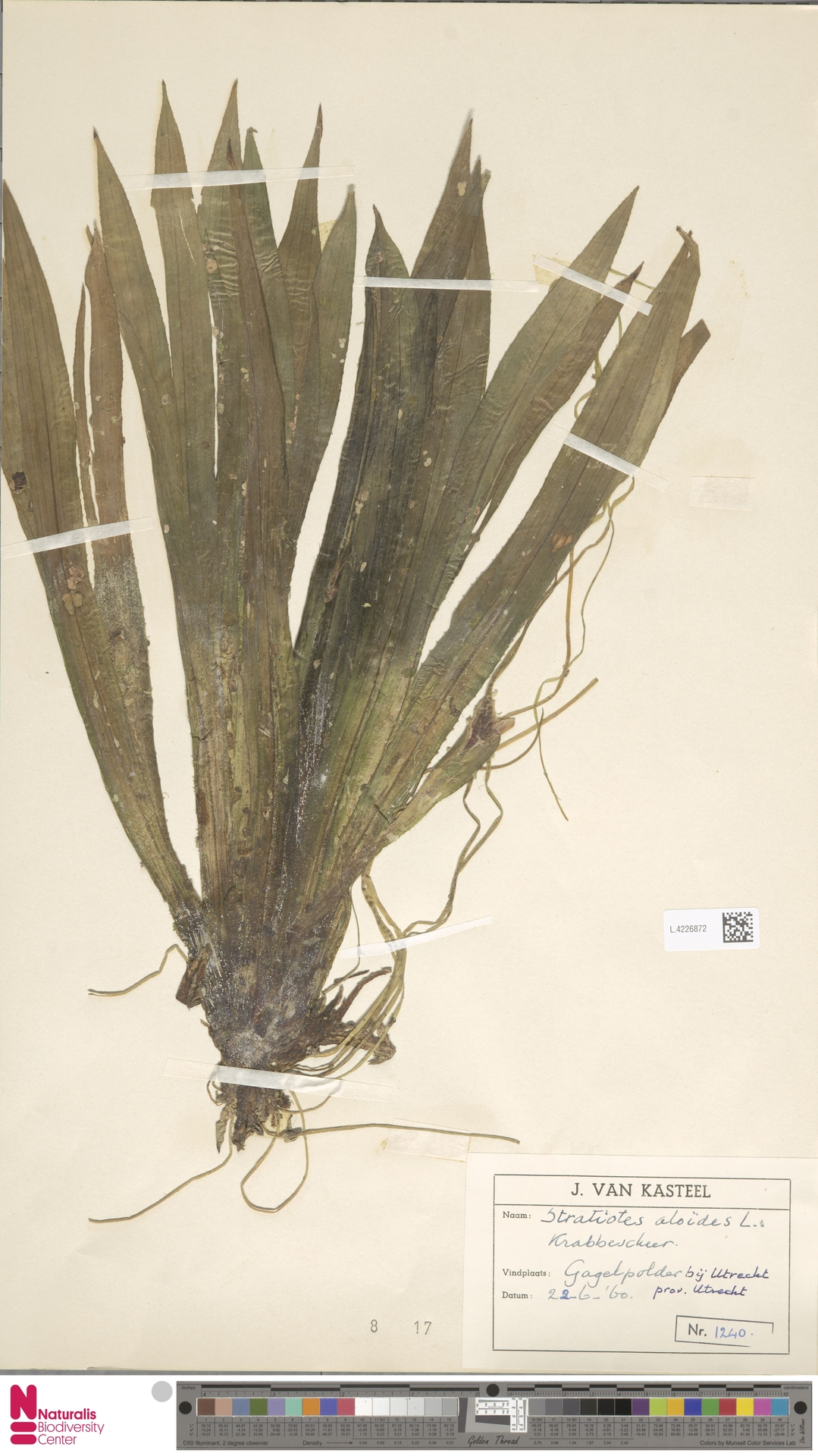 L.4226872 | Stratiotes aloides L.