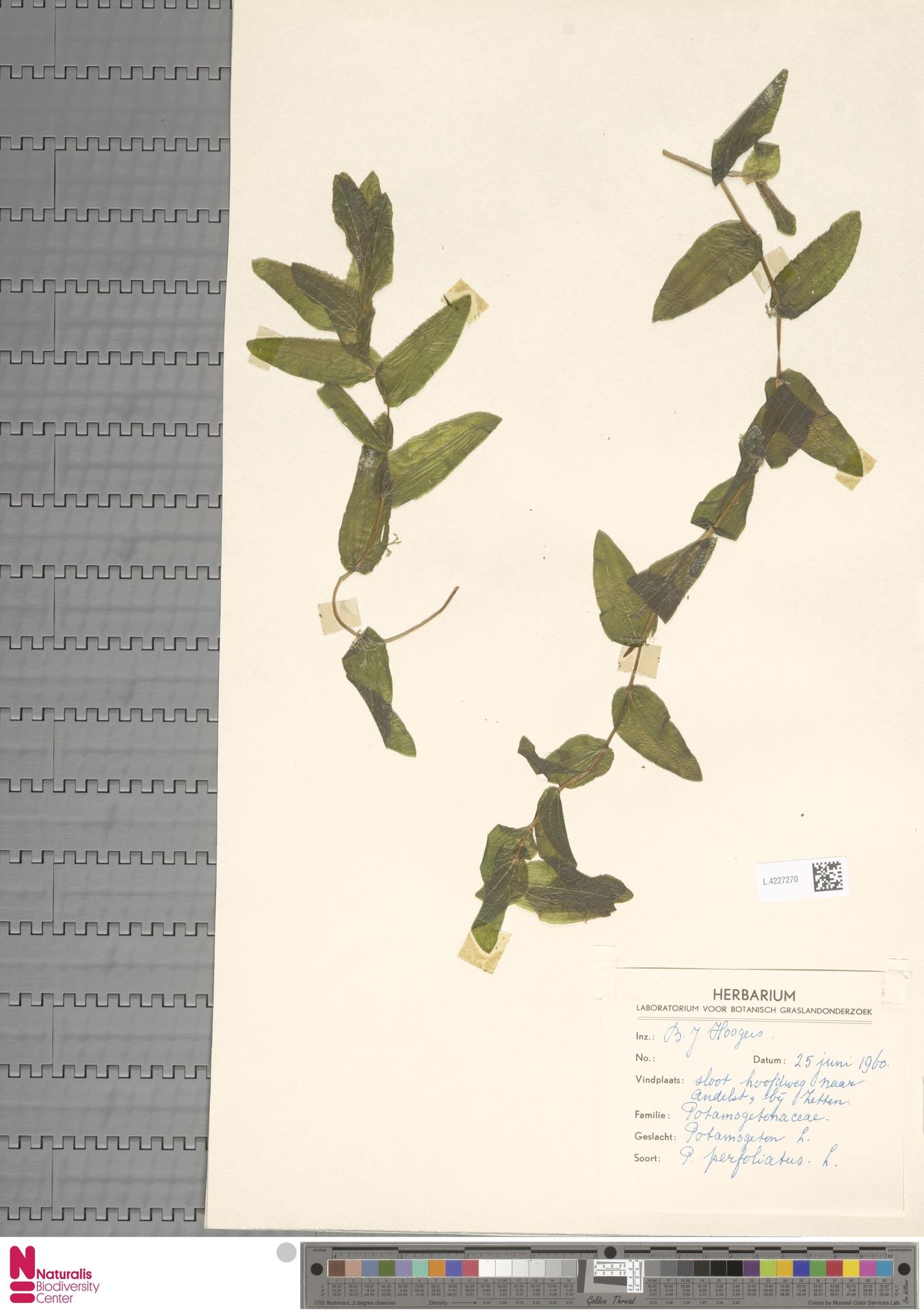 L.4227270   Potamogeton perfoliatus L.