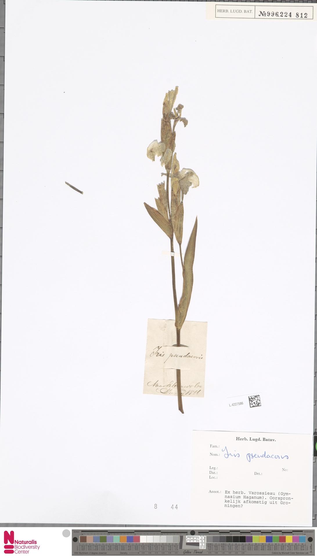 L.4227586 | Iris pseudacorus L.