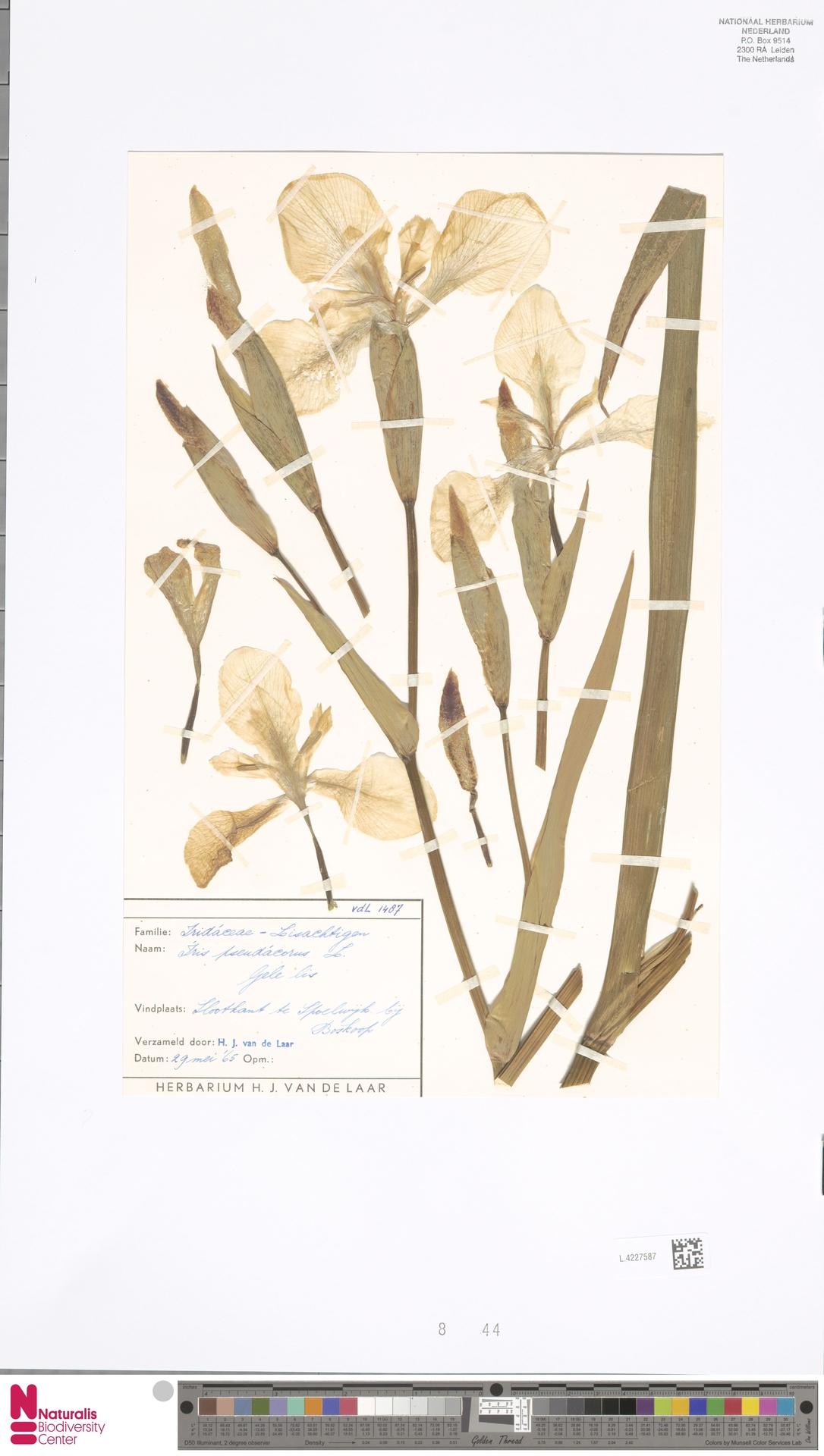 L.4227587 | Iris pseudacorus L.