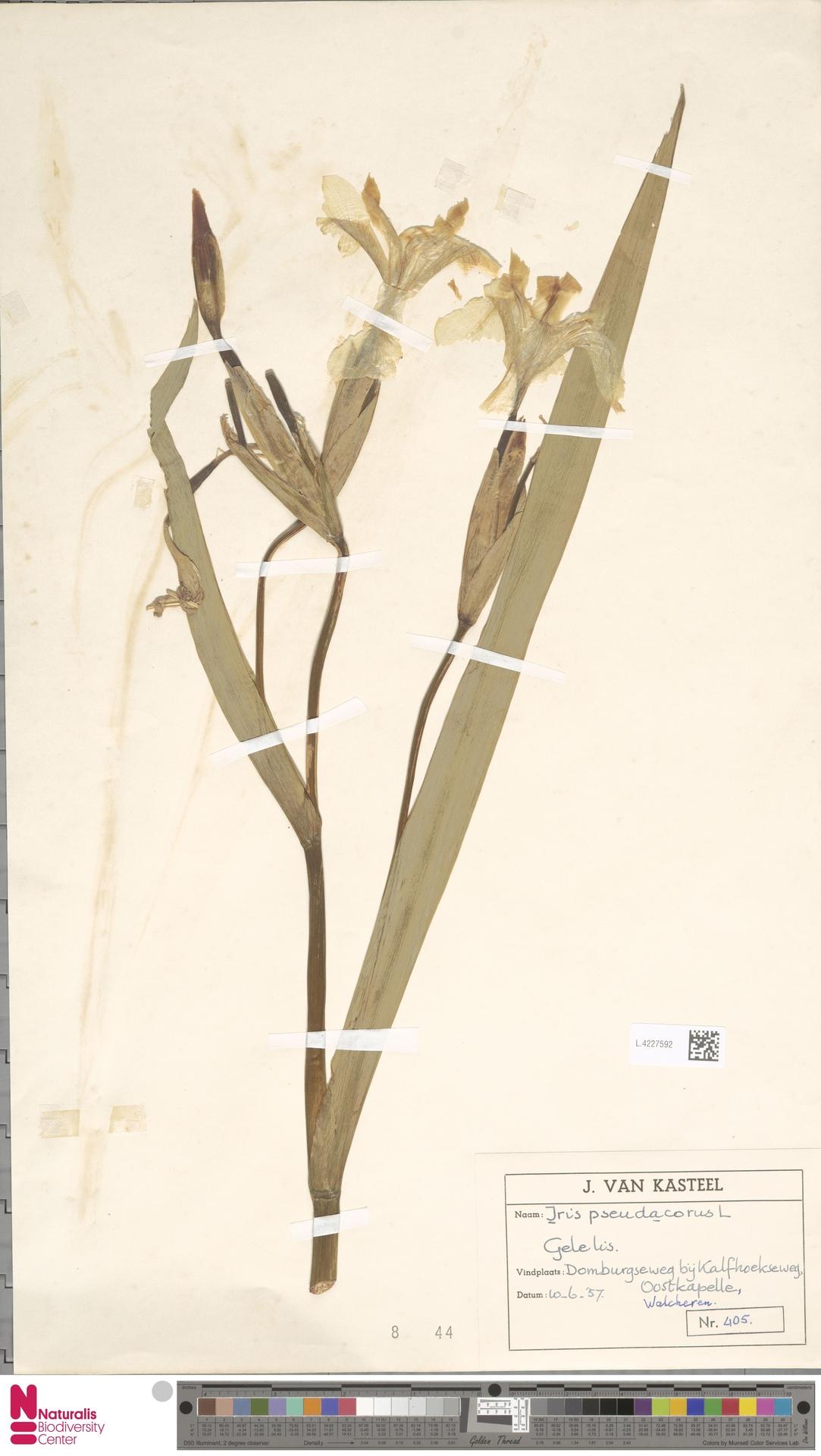 L.4227592   Iris pseudacorus L.