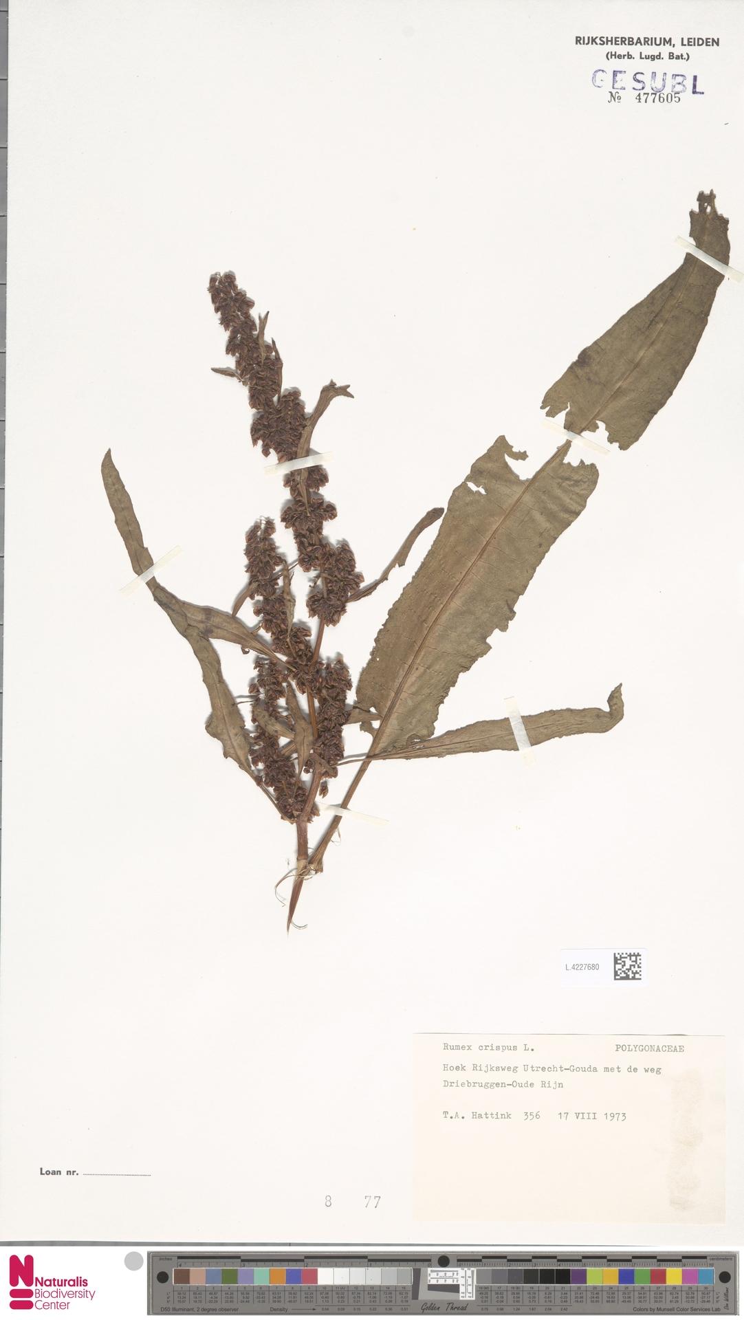 L.4227680   Rumex crispus L.