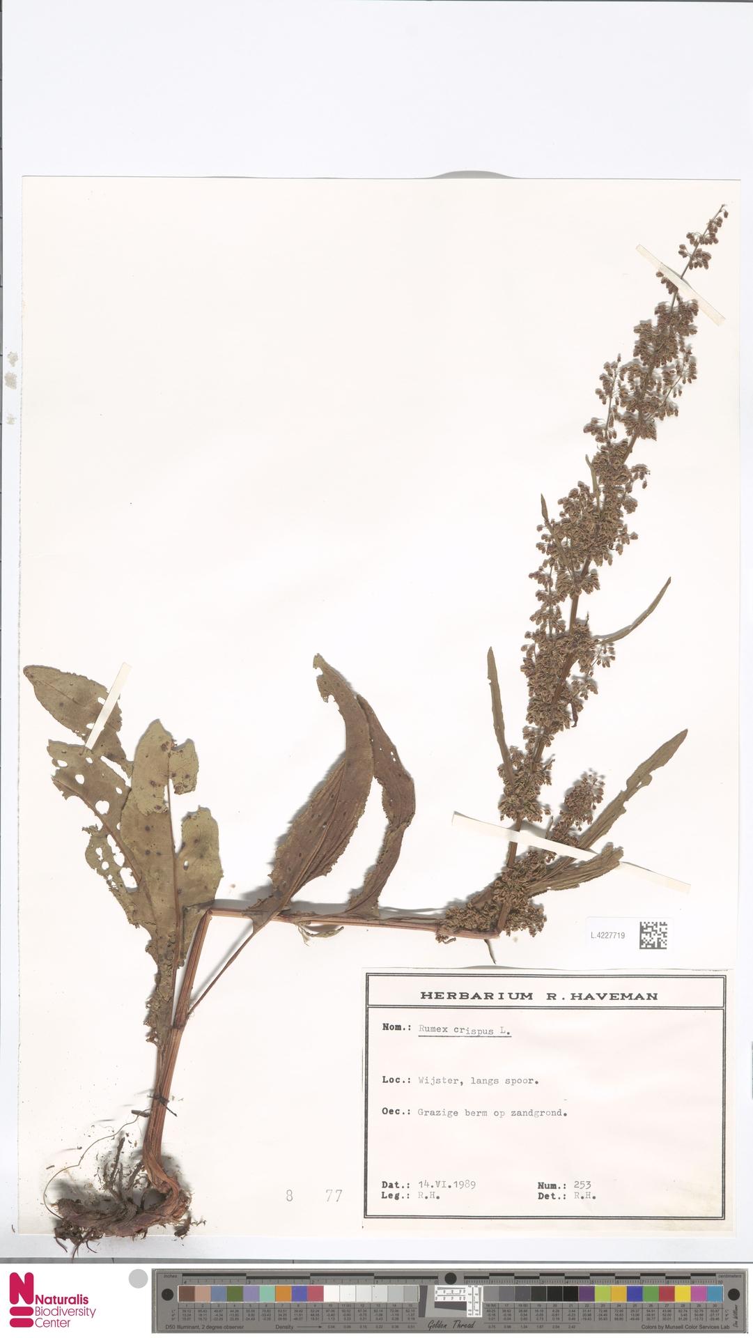 L.4227719 | Rumex crispus L.