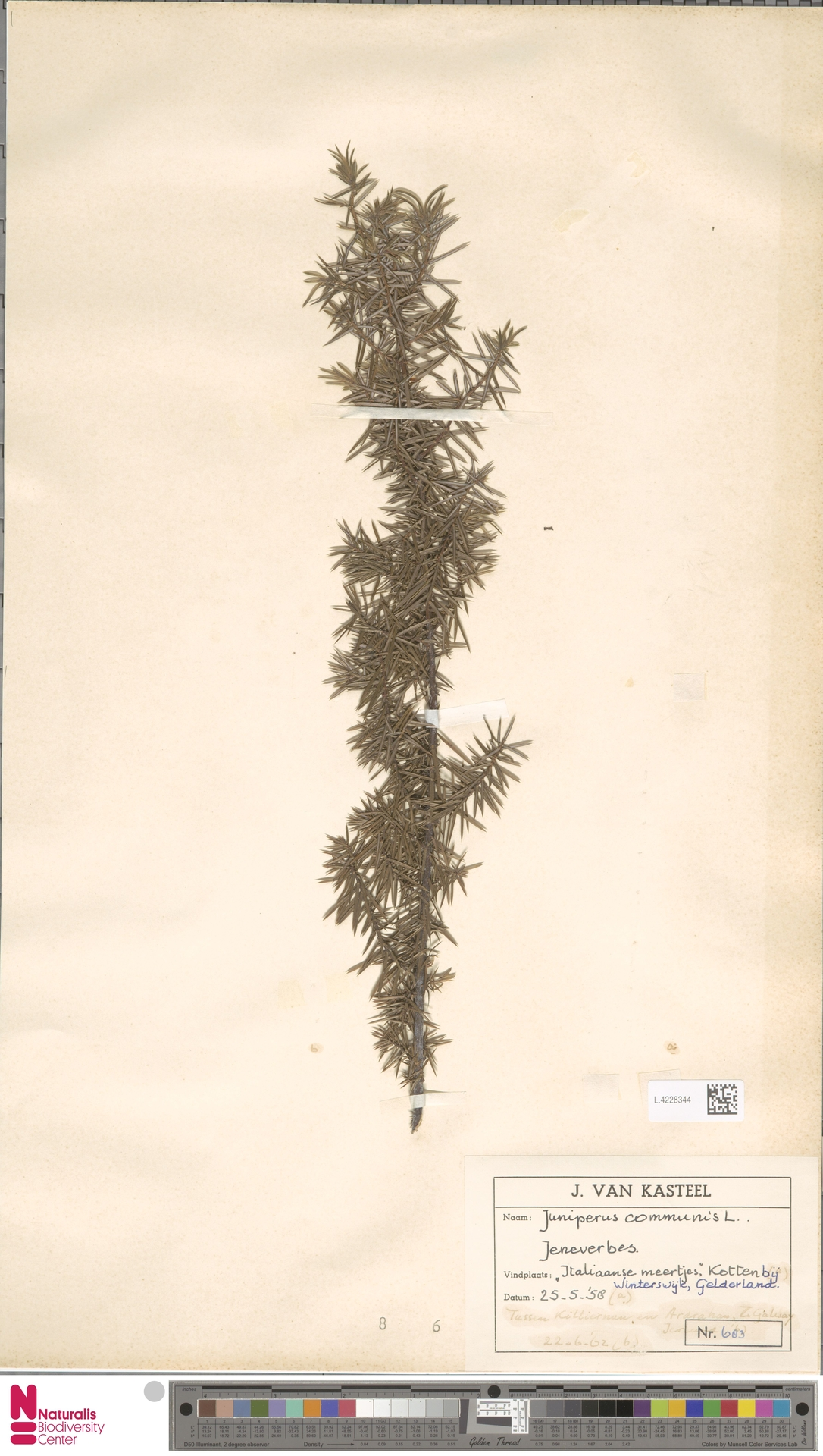 L.4228344 | Juniperus communis L.