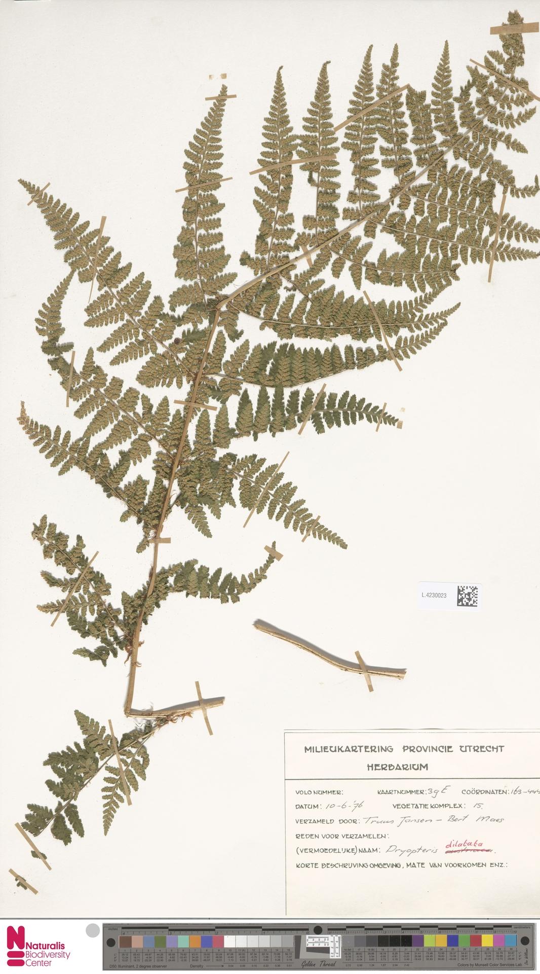 L.4230023 | Dryopteris dilatata (Hoffm.) A.Gray