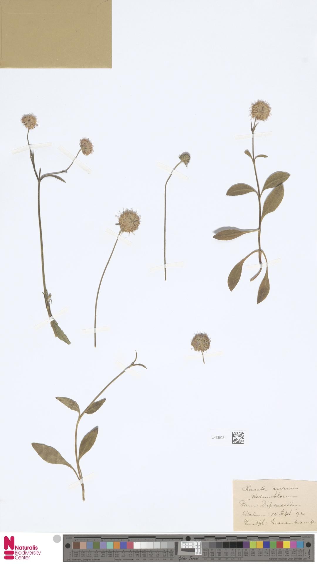 L.4230221 | Knautia arvensis (L.) Coult.