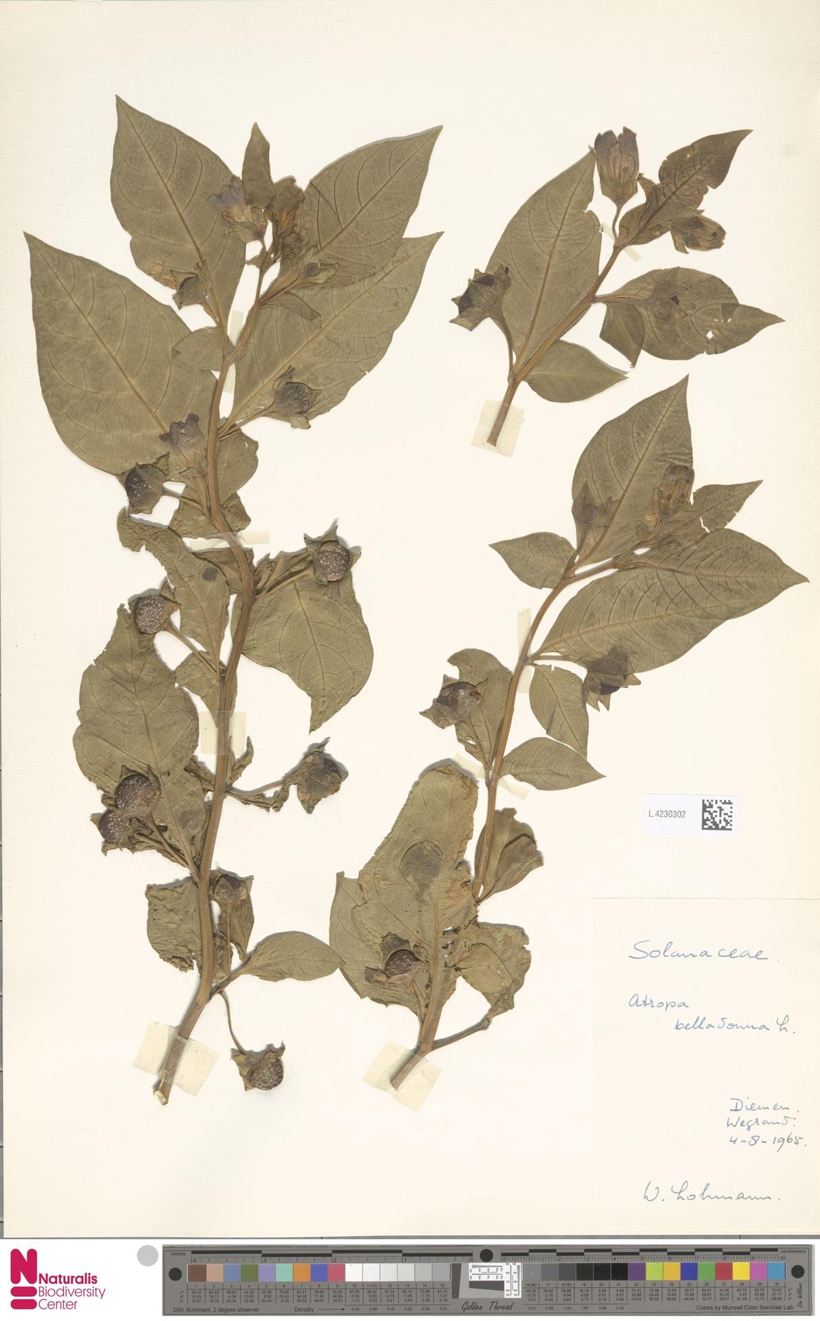 L.4230302 | Atropa belladonna L.