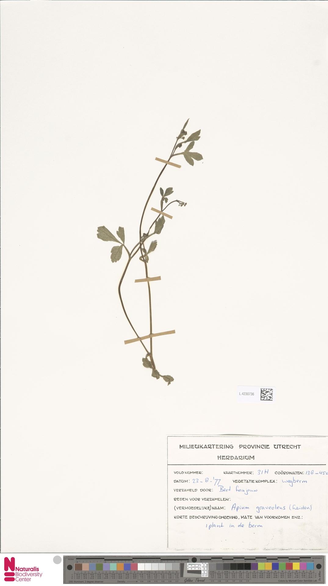 L.4230736 | Apium graveolens L.