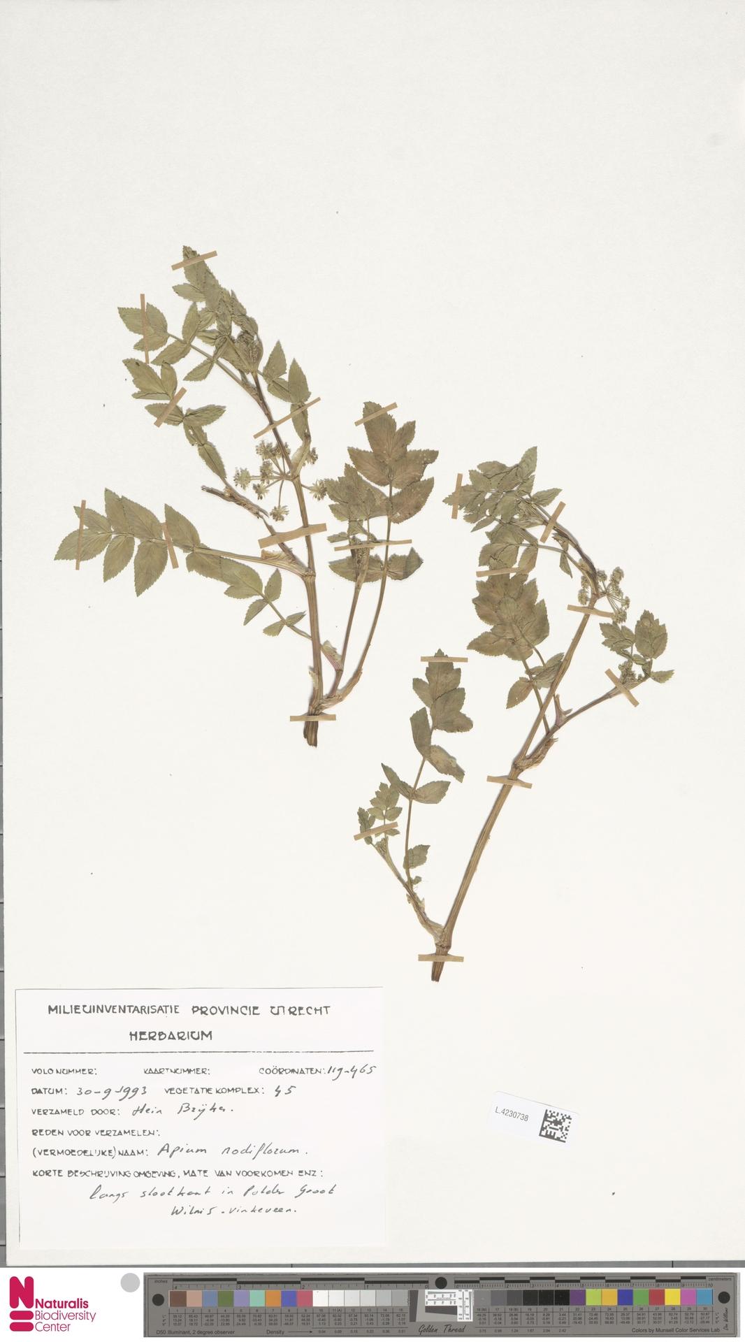 L.4230738 | Apium nodiflorum (L.) Lag.