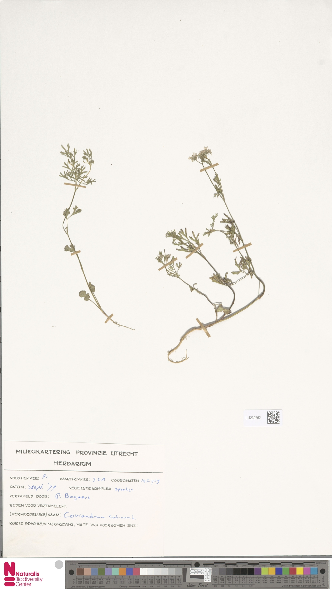 L.4230762 | Coriandrum sativum L.
