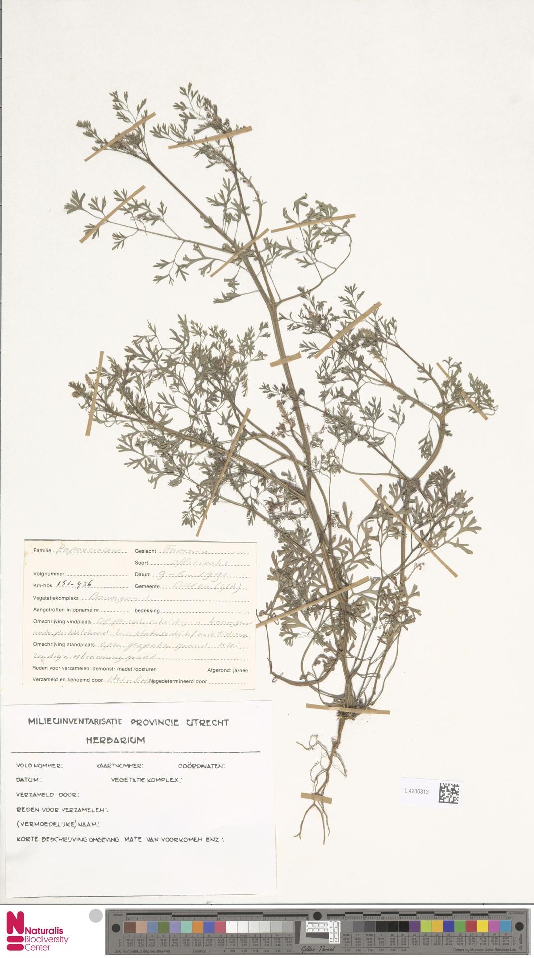 L.4230813 | Fumaria officinalis L.