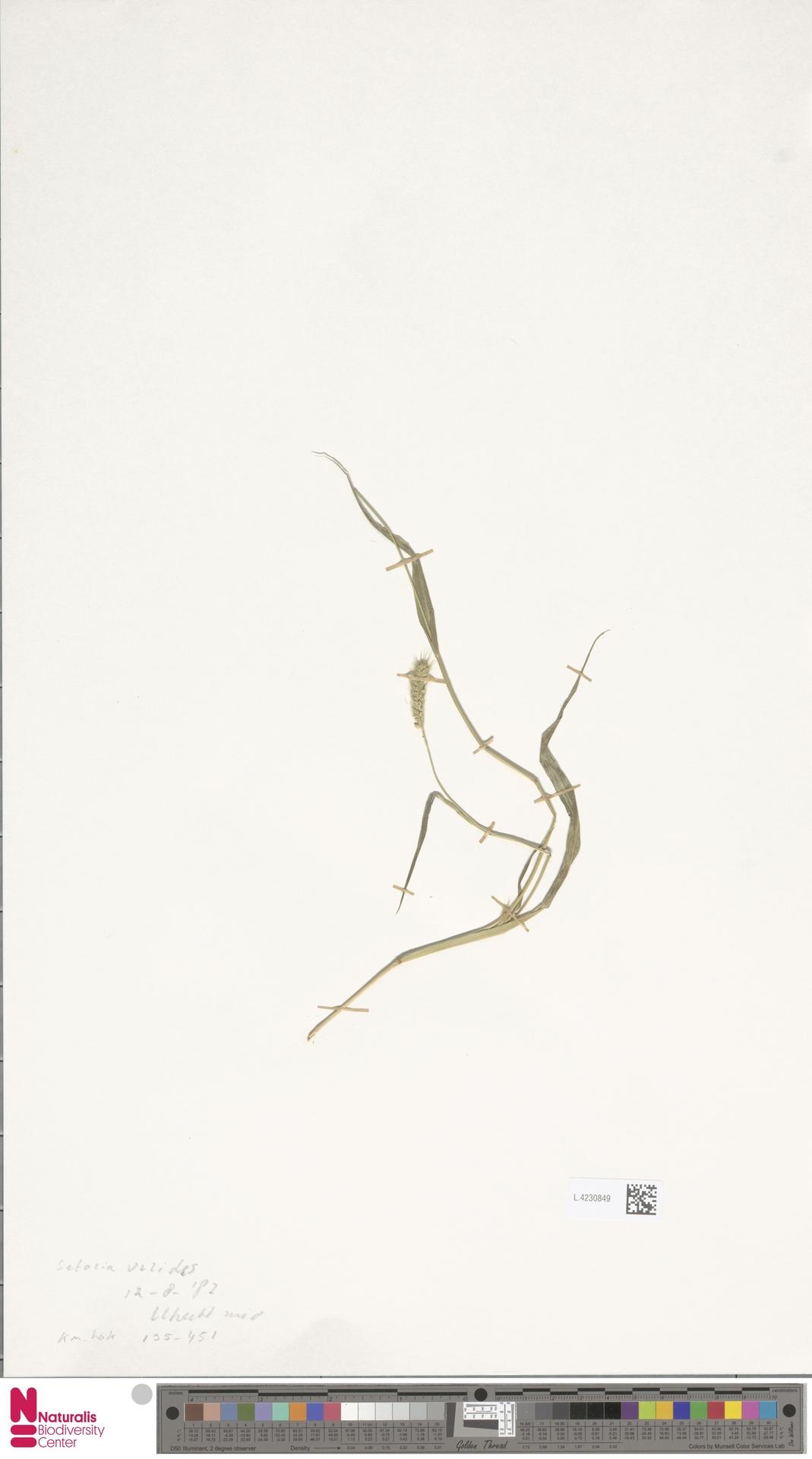 L.4230849 | Setaria viridis (L.) P.Beauv.