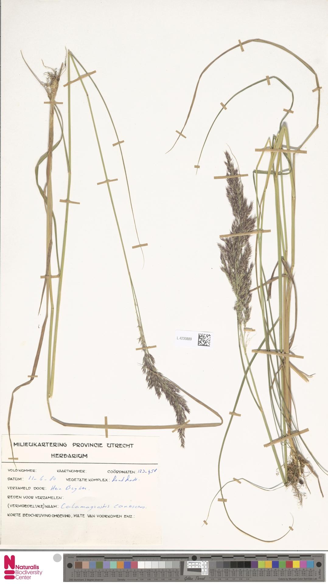 L.4230889 | Calamagrostis canescens (Weber) Roth
