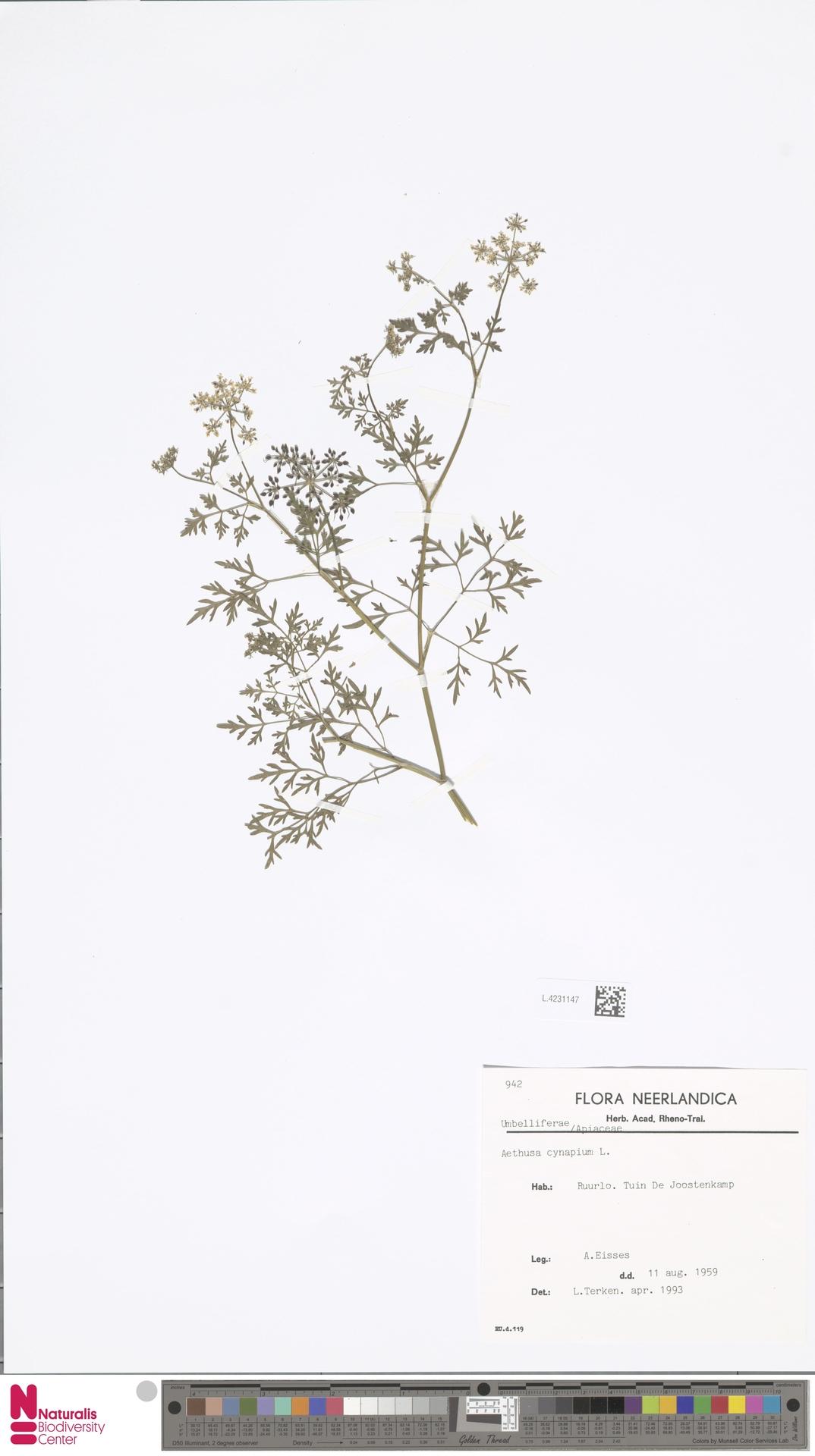 L.4231147 | Aethusa cynapium L.